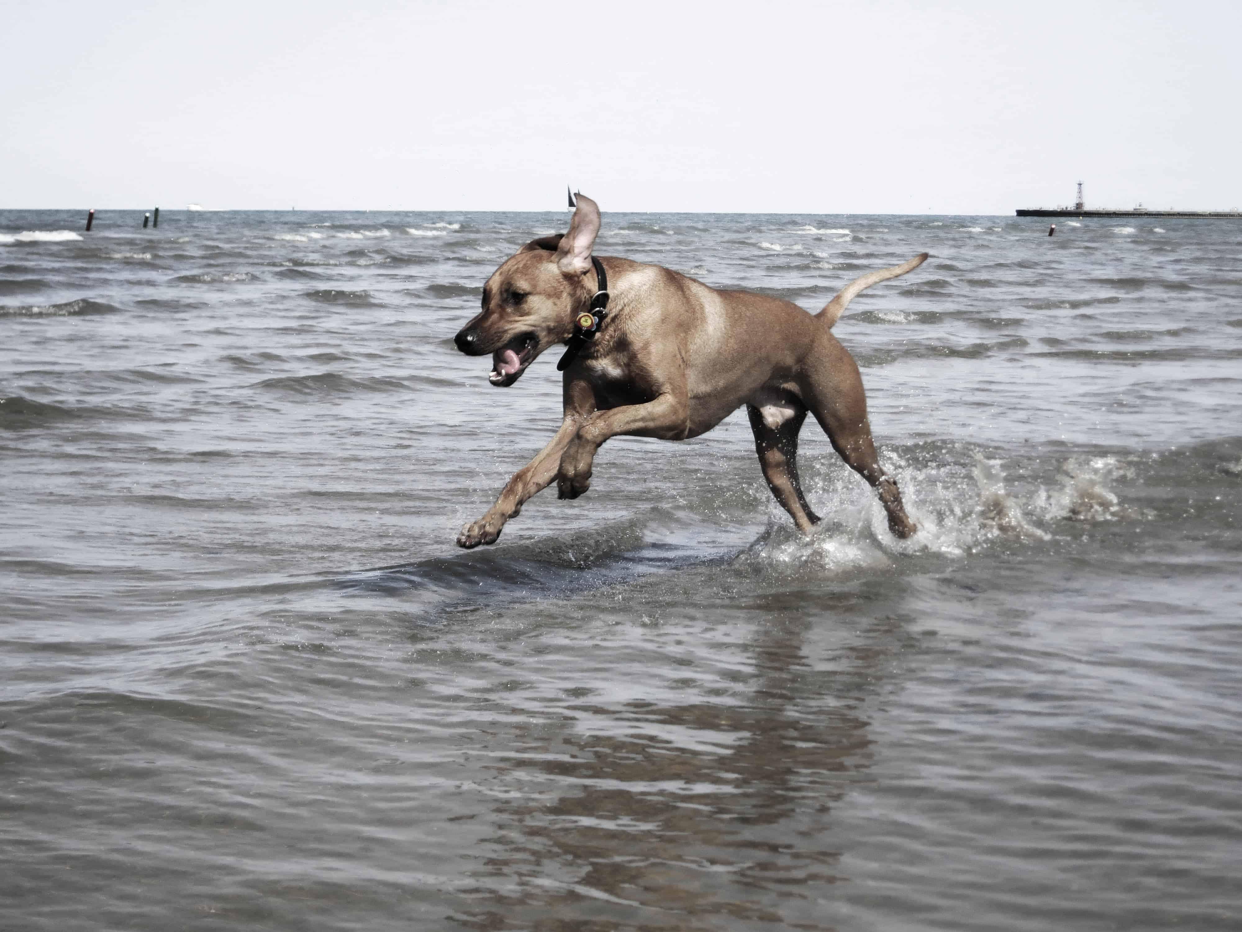 Rhodesian Ridgeback, pet adventure, dog blog, pet blog