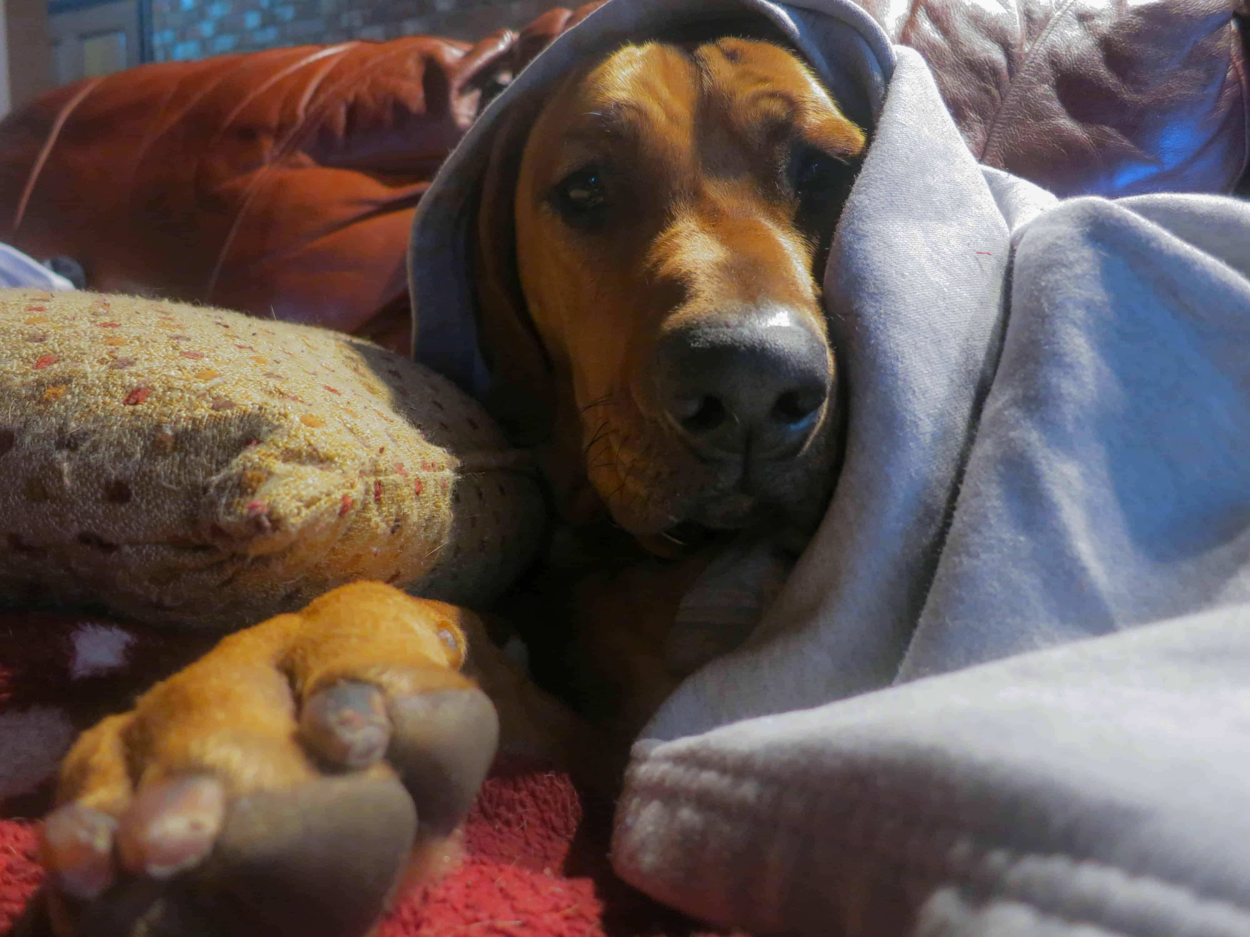 Rhodesian Ridgeback, dogs, adventure. photos, chicago