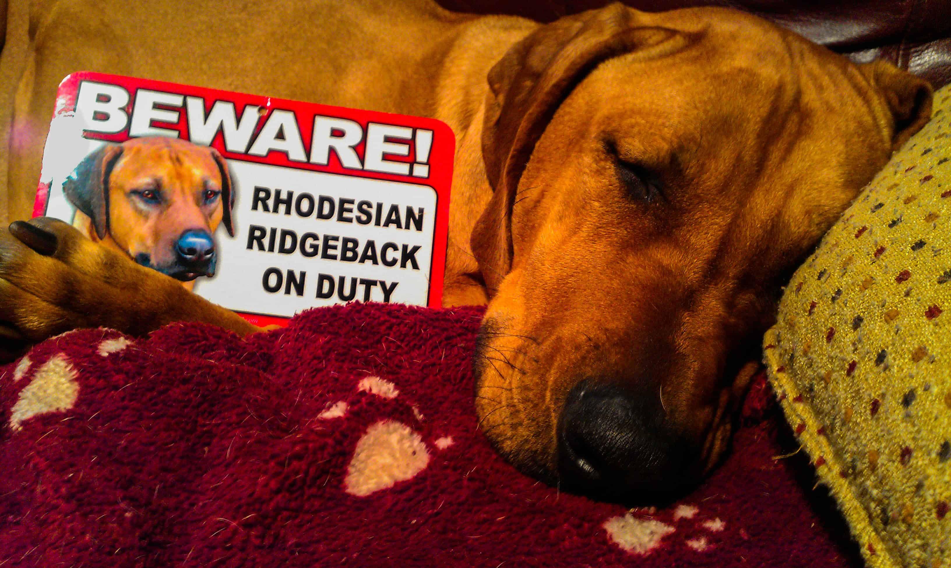 Rhodesian Ridgeback, pet bl