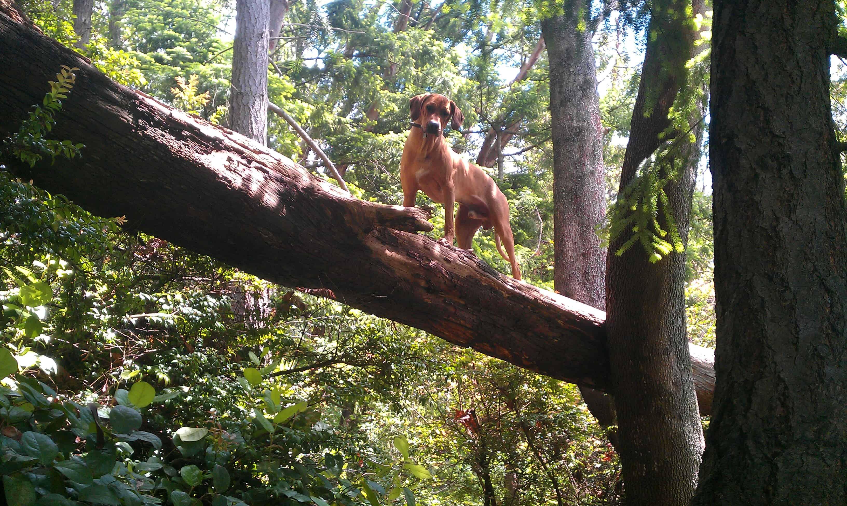 dog blog, rhodesian ridgeback photo