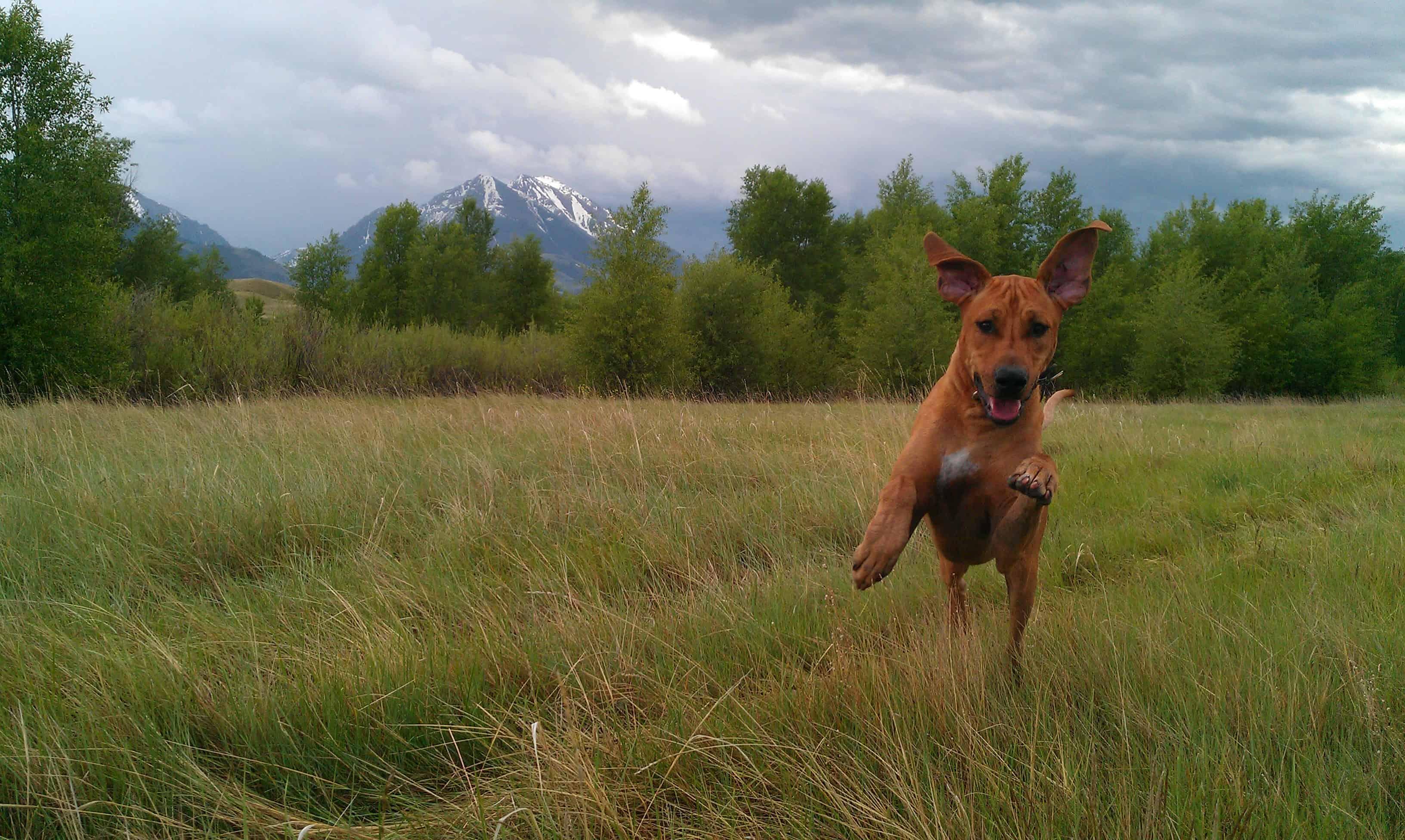 Rhodesian Ridgeback, adventure, dogs, marking our territory, photos