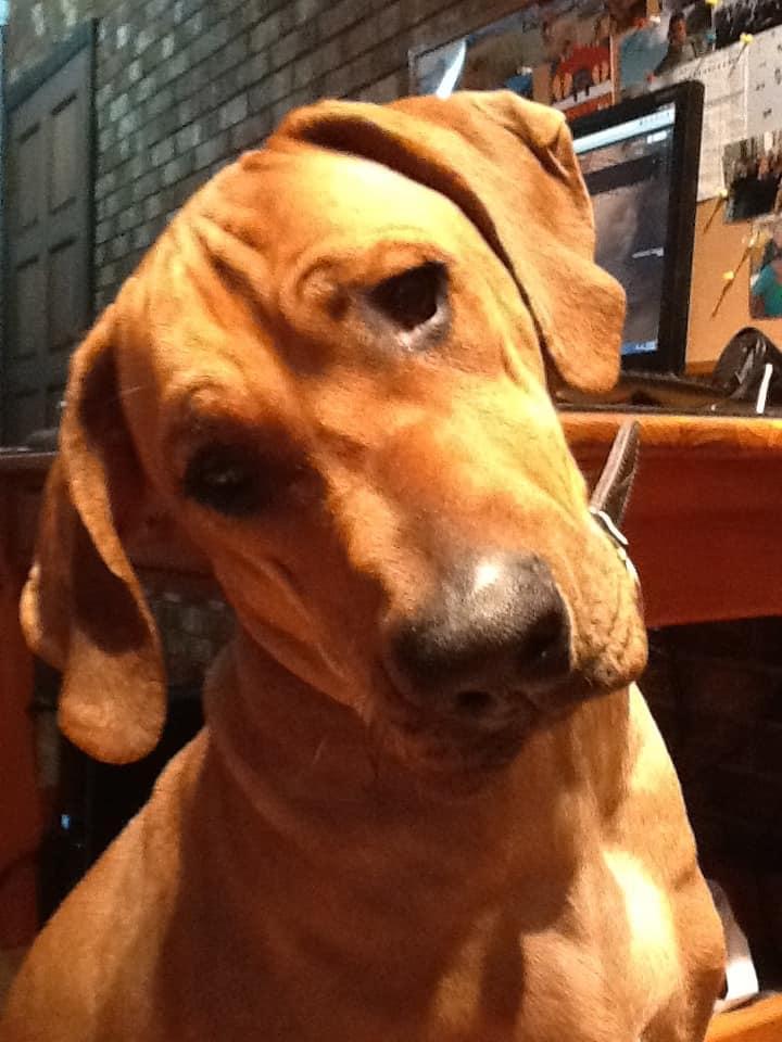 Rhodesian Ridgeback, dog blog, pet photos, pet adventure, chicago