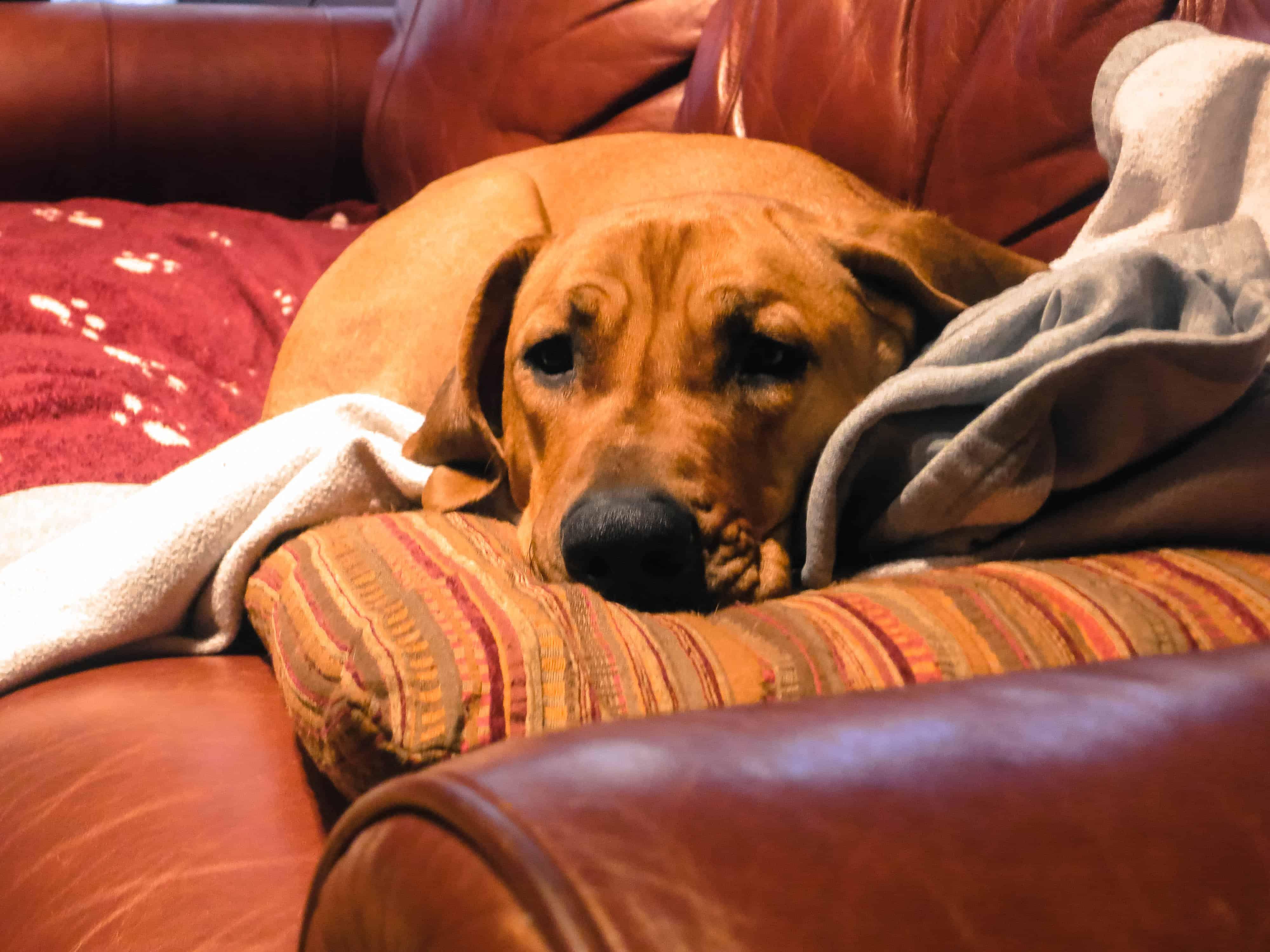 Rhodesian Ridgeback photo, dog blog
