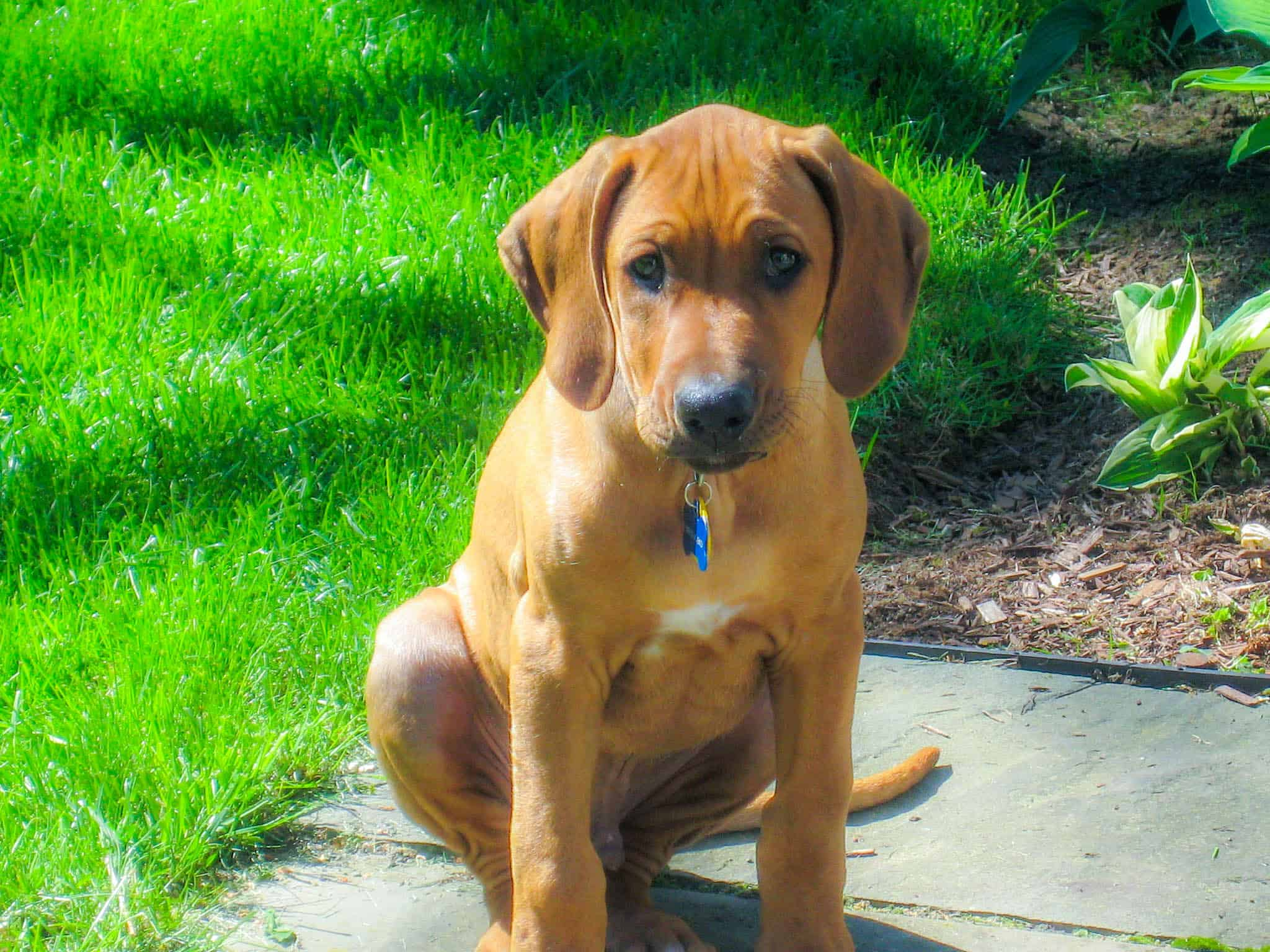 Rhodesian Ridgeback, Rhodesian Ridgeback puppy, Rhodesian Ridgeback photo, dog adventure, dog blog, marking our territory, petcentric