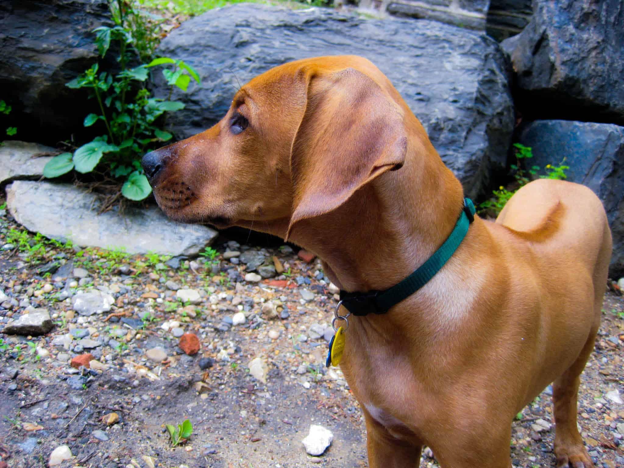 Rhodesian Ridgeback, Rhodesian Ridgeback puppy, Rhodesian Ridgeback photo, dog adventure, dog blog, marking our territory, petcentric