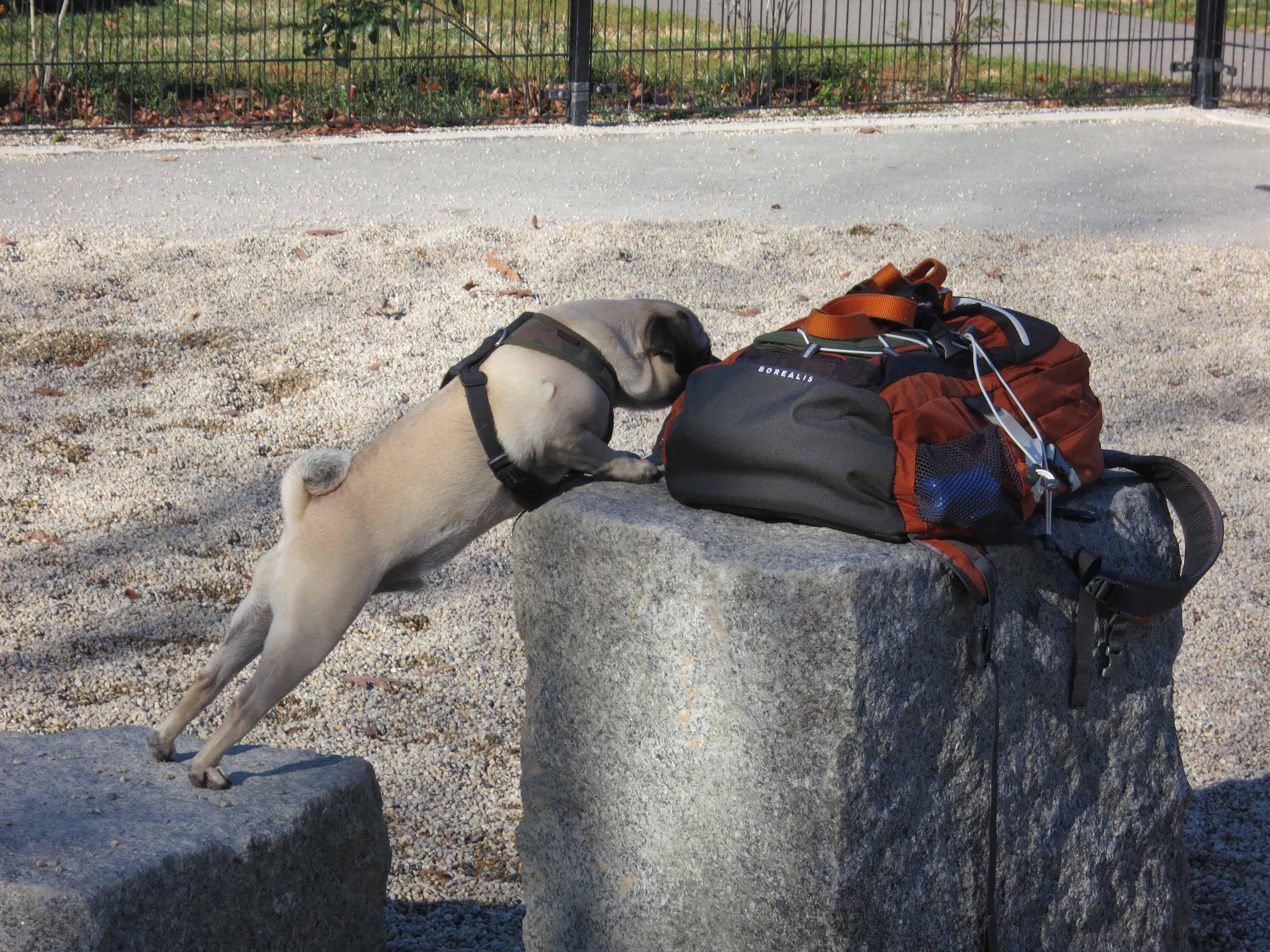 Rhodesian Ridgeback, marking our territory, dog blog, adventure, pet-friendly