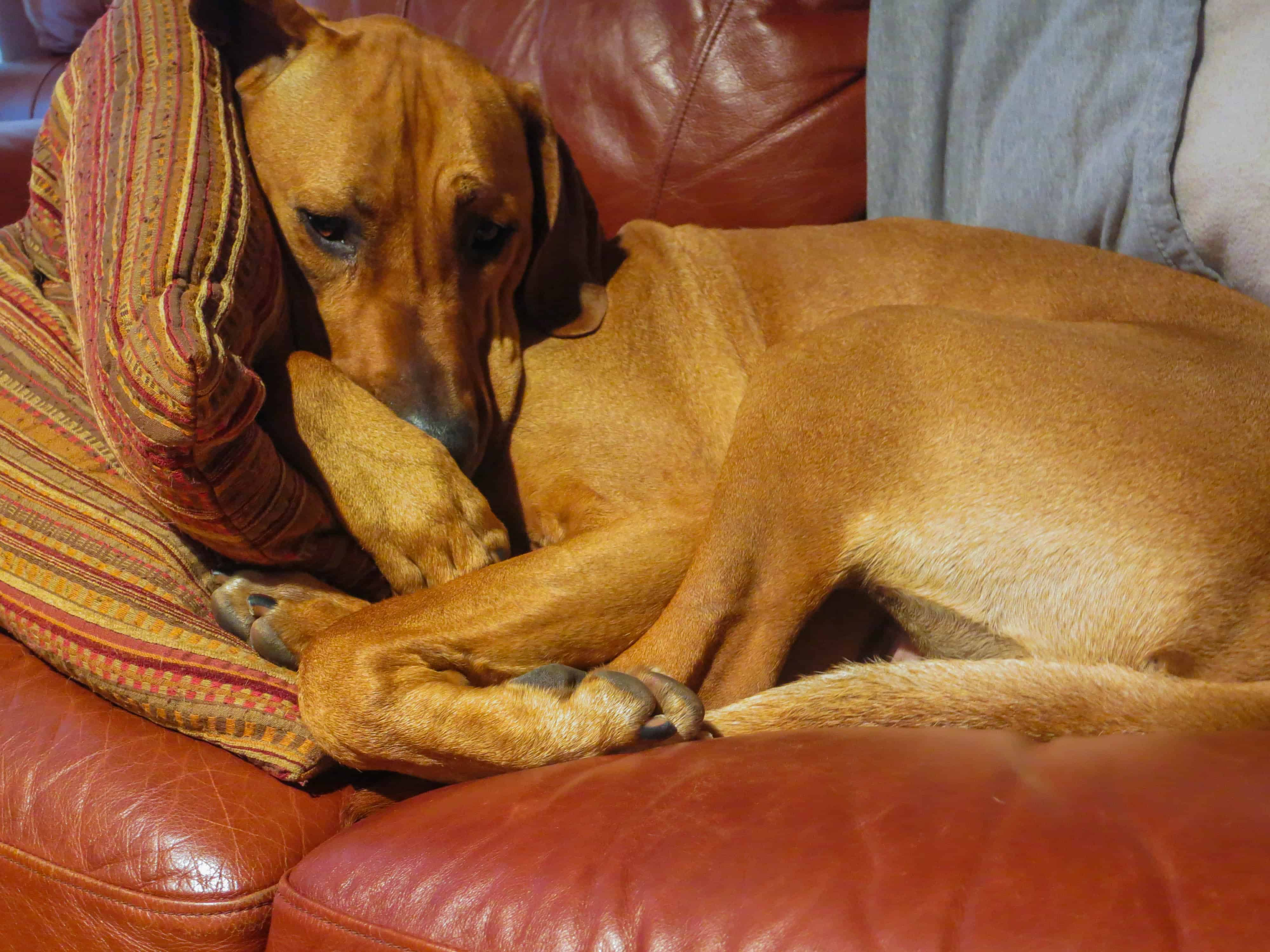 Rhodesian Ridgeback, pet adventure, dog blog, pet photos, Rhodesian Ridgeback photo
