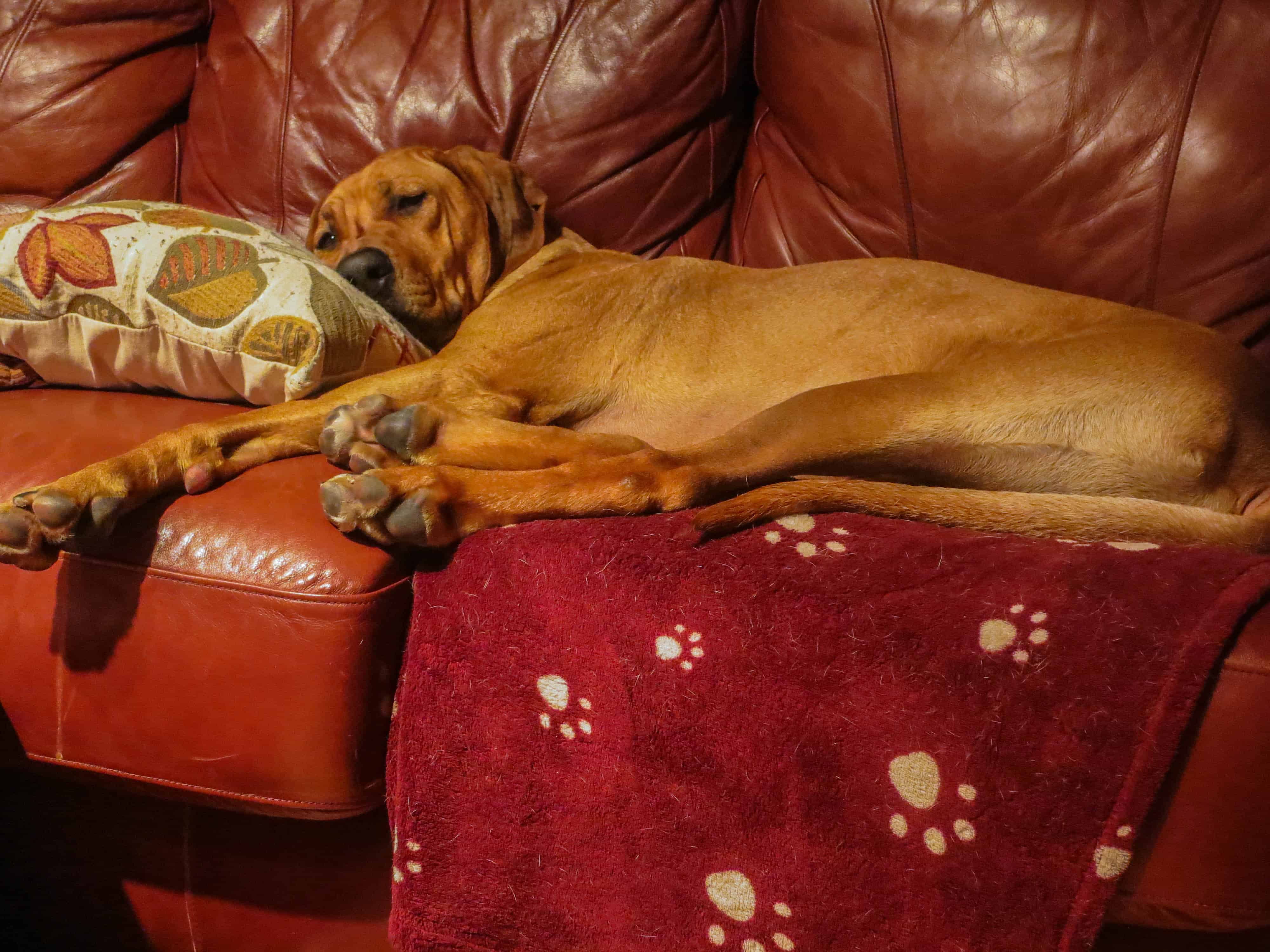 Rhodesian Ridgeback, pet adventure, dog blog, pet photos, Rhodesian Ridgeback photo