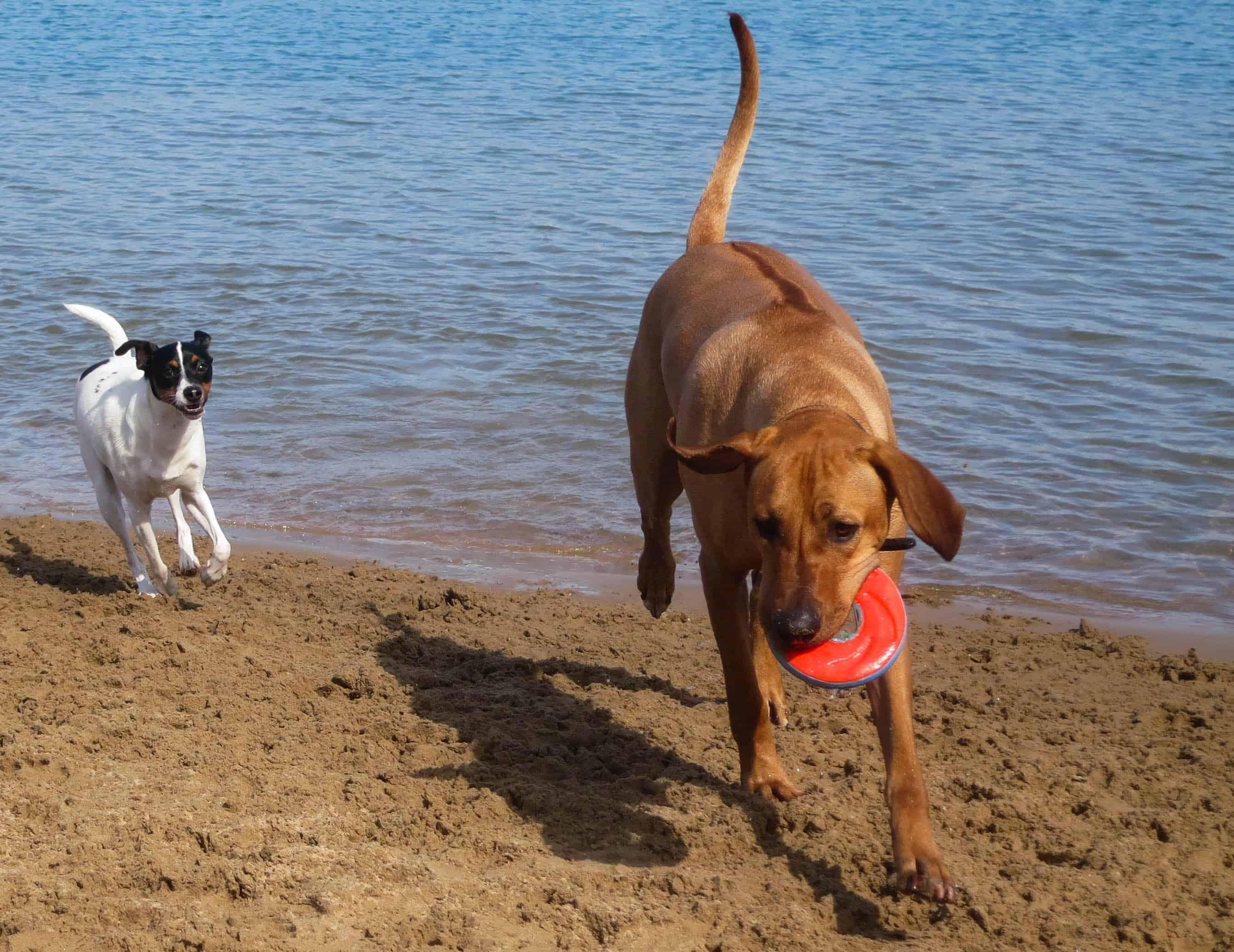 Rhodesian Ridgeback photo, pet adventure, dog blog, chicago, petcentric, dog beach