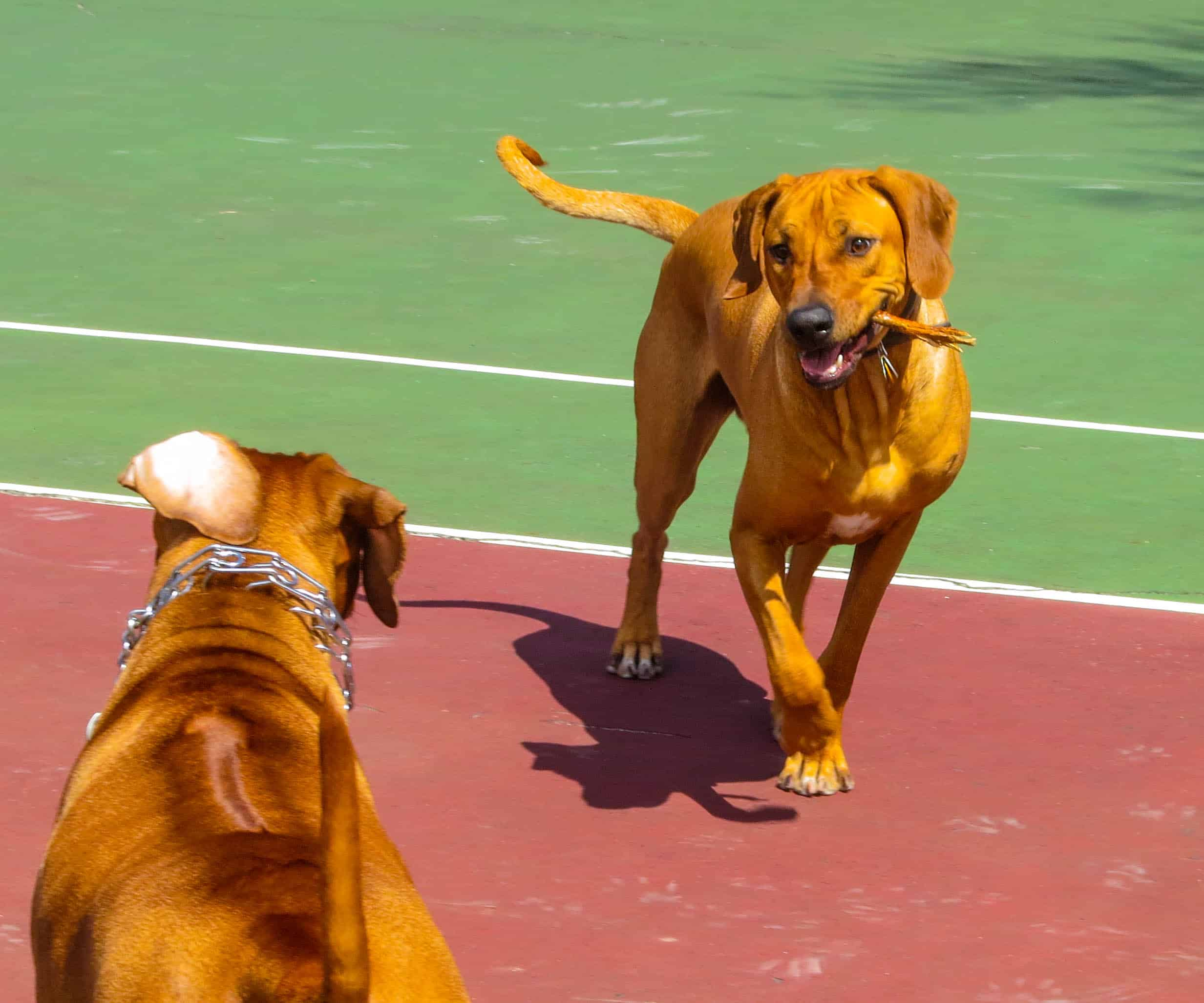Rhodesian Ridgebacks playing