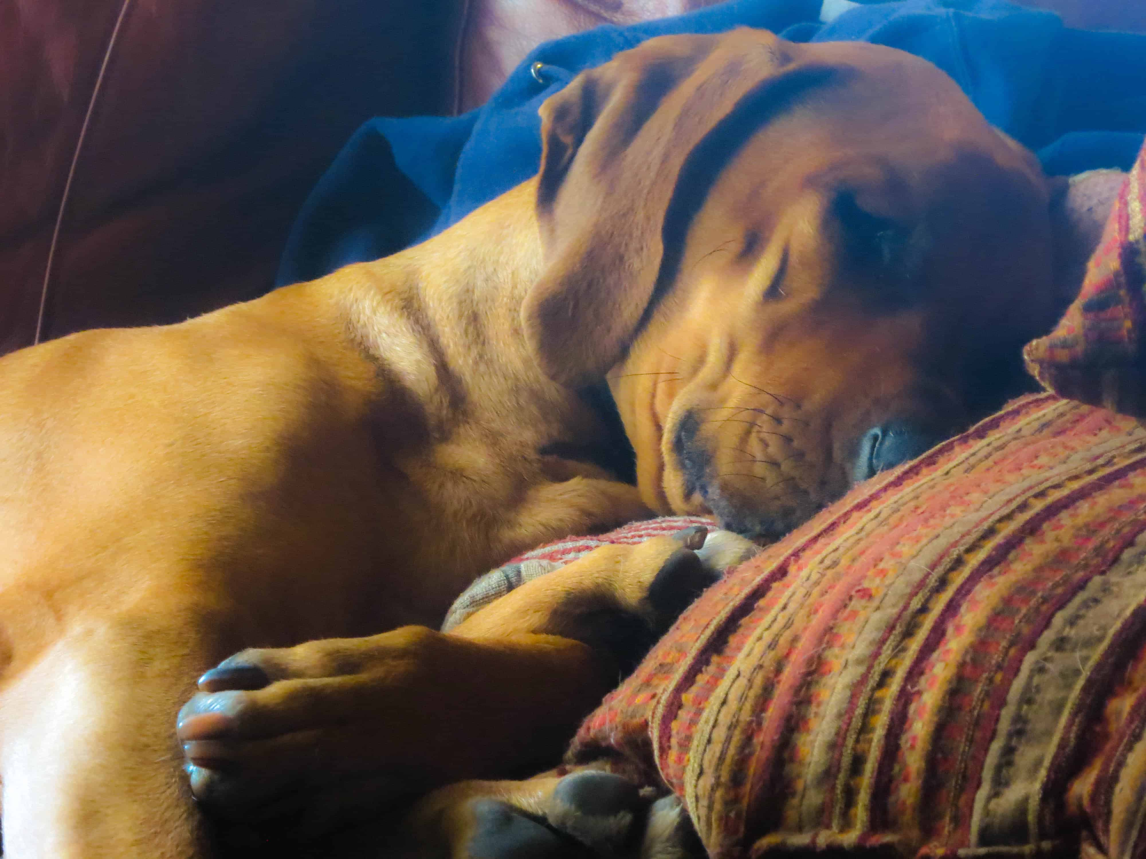 Rhodesian Ridgeback, pet adventure, dog blog, marking our territory, petcentric
