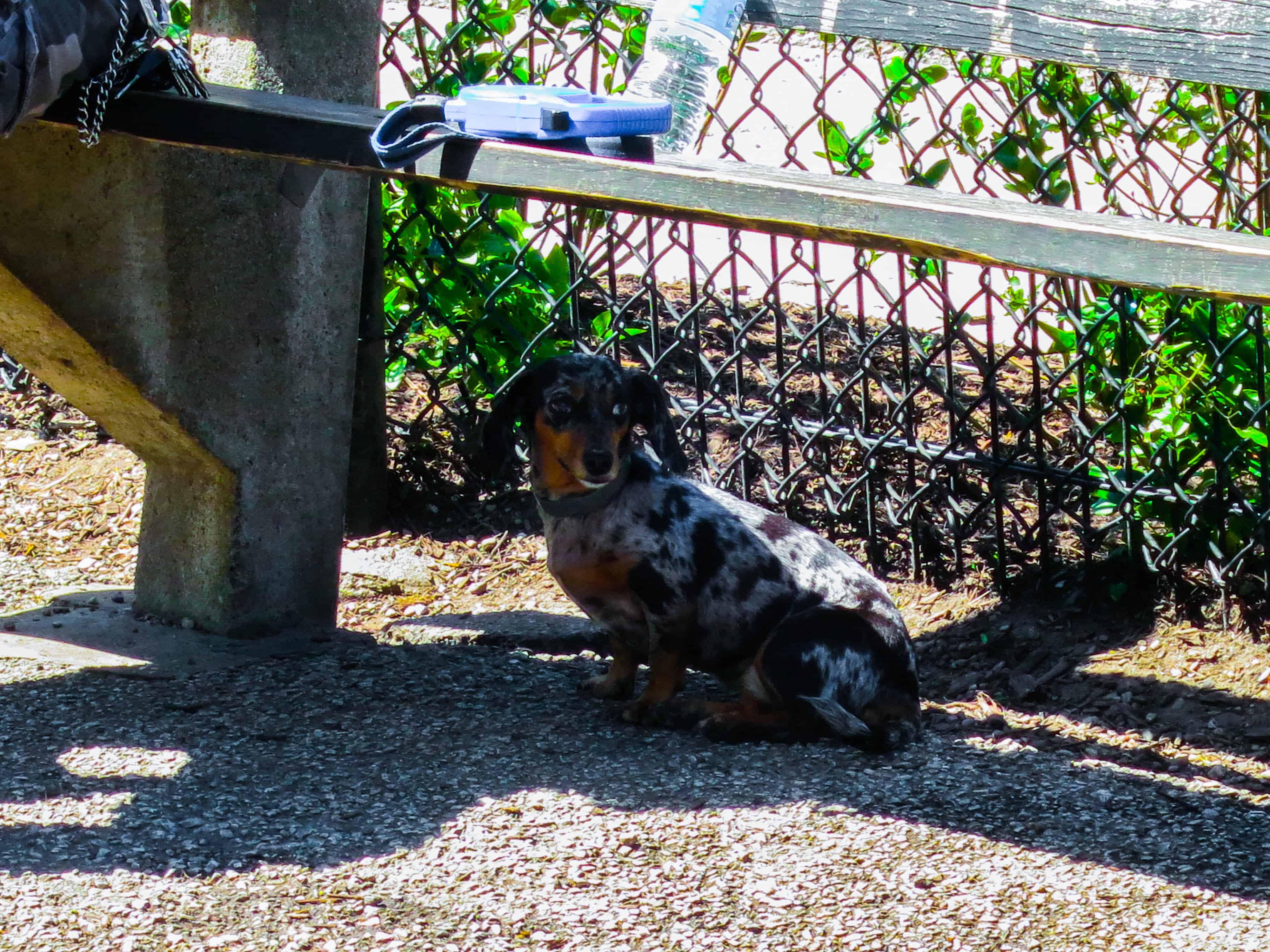 Rhodesian RIdgeback, pet adventure, dog blog, pet photos