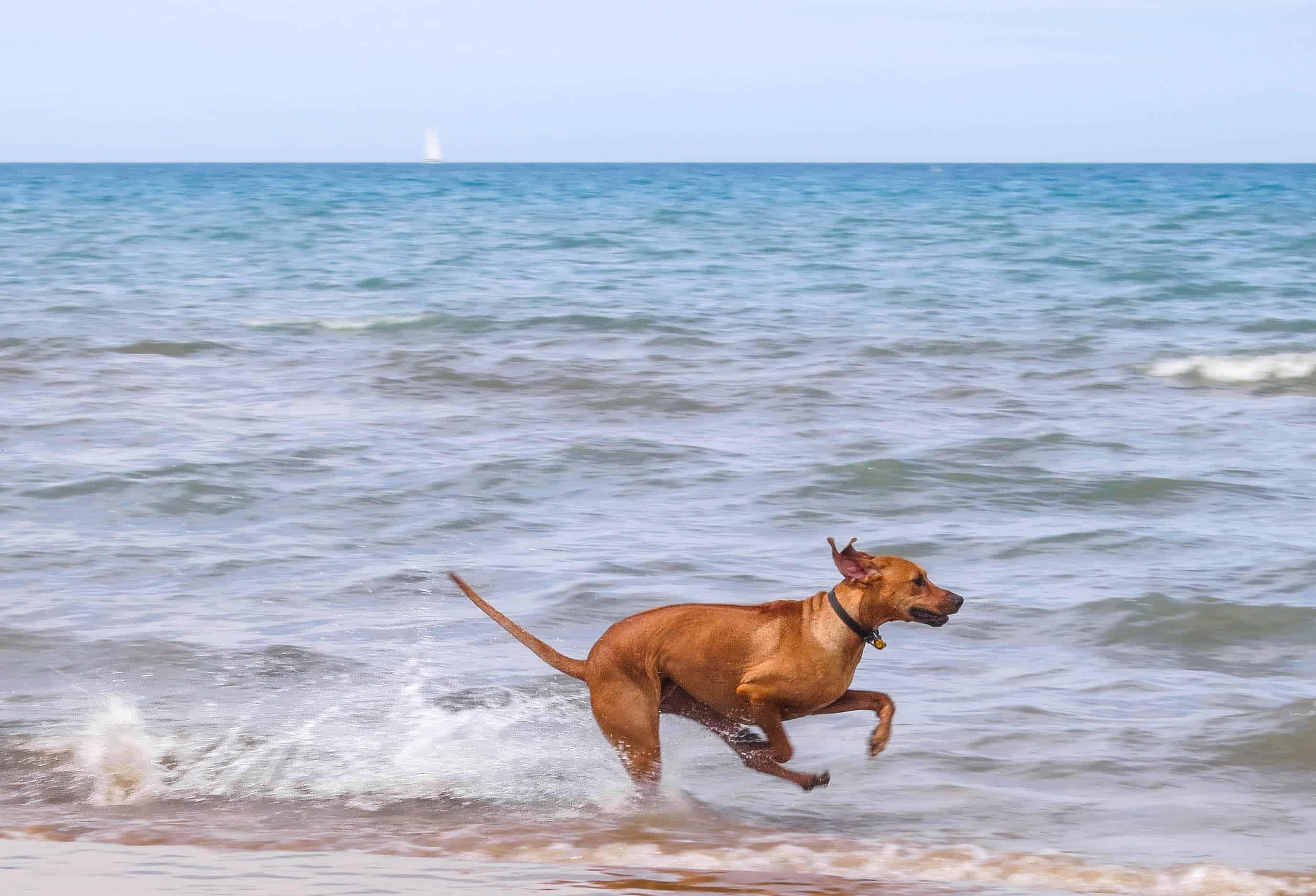 Rhodesian Ridgeback, rhodesian ridgeback photos, pet adventure, dog blog, marking our territory, petcentric