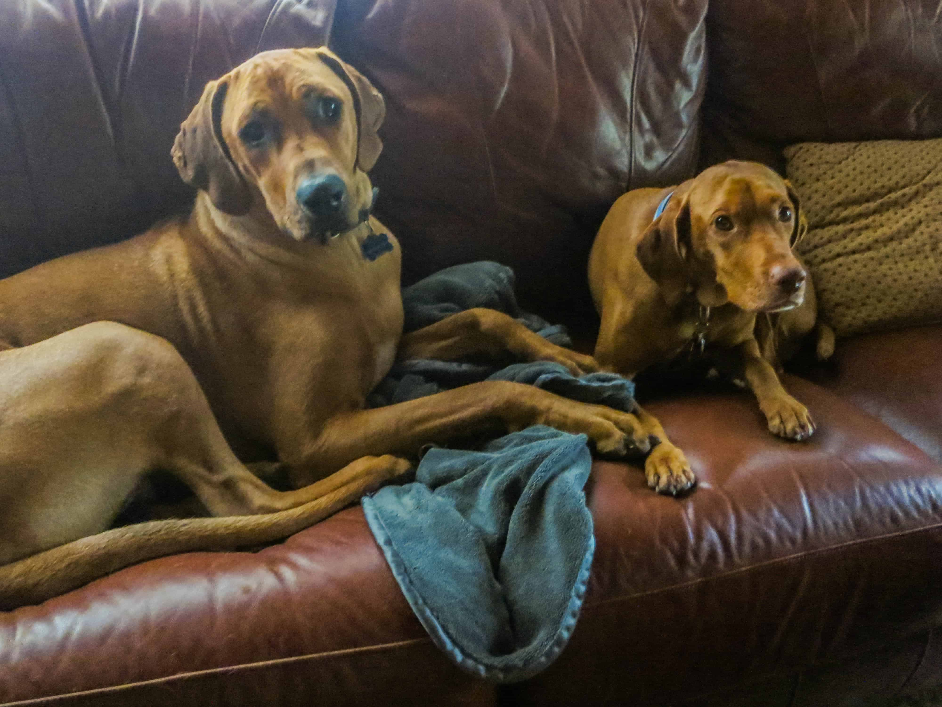 Rhodesian Ridgeback, pet adventure, dog blog, marking our territory