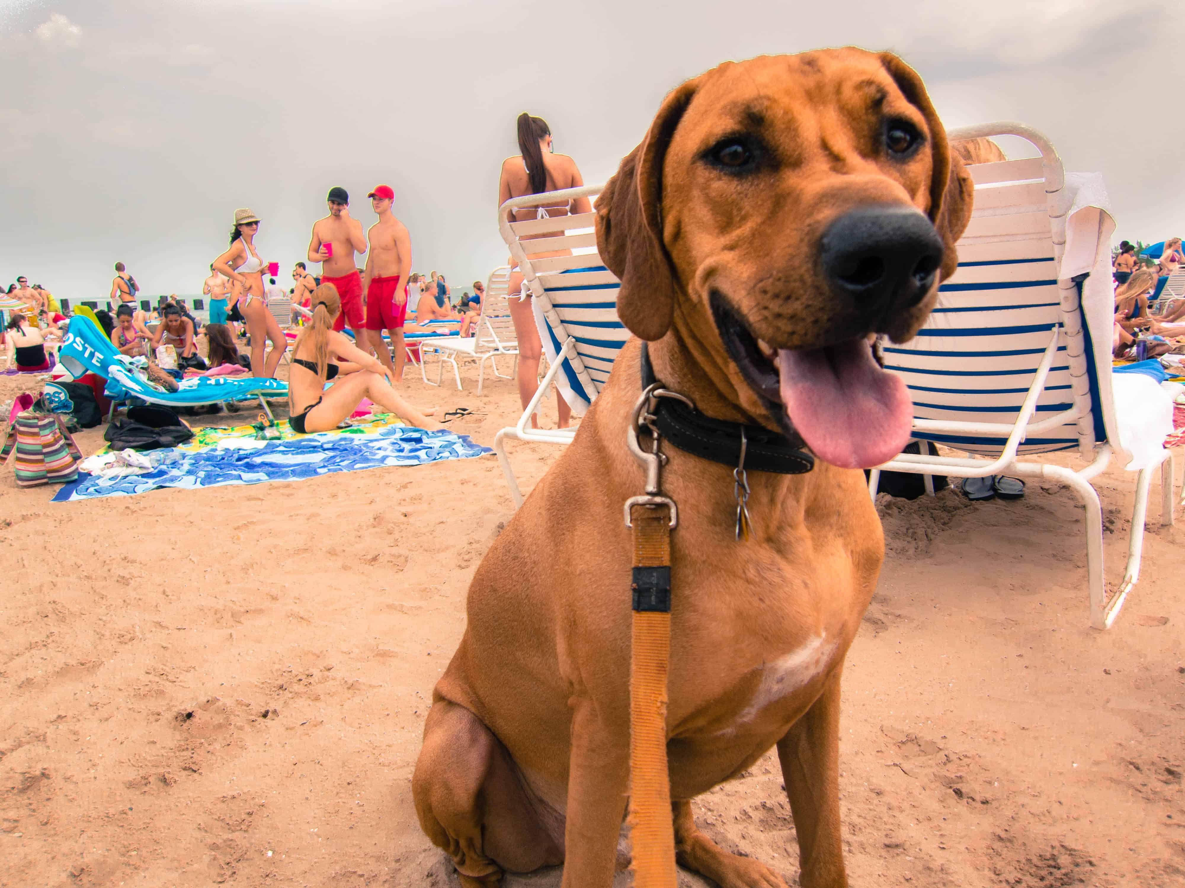 Rhodesian Ridgeback, pet adventure, dog blog, marking our territory, dog beach