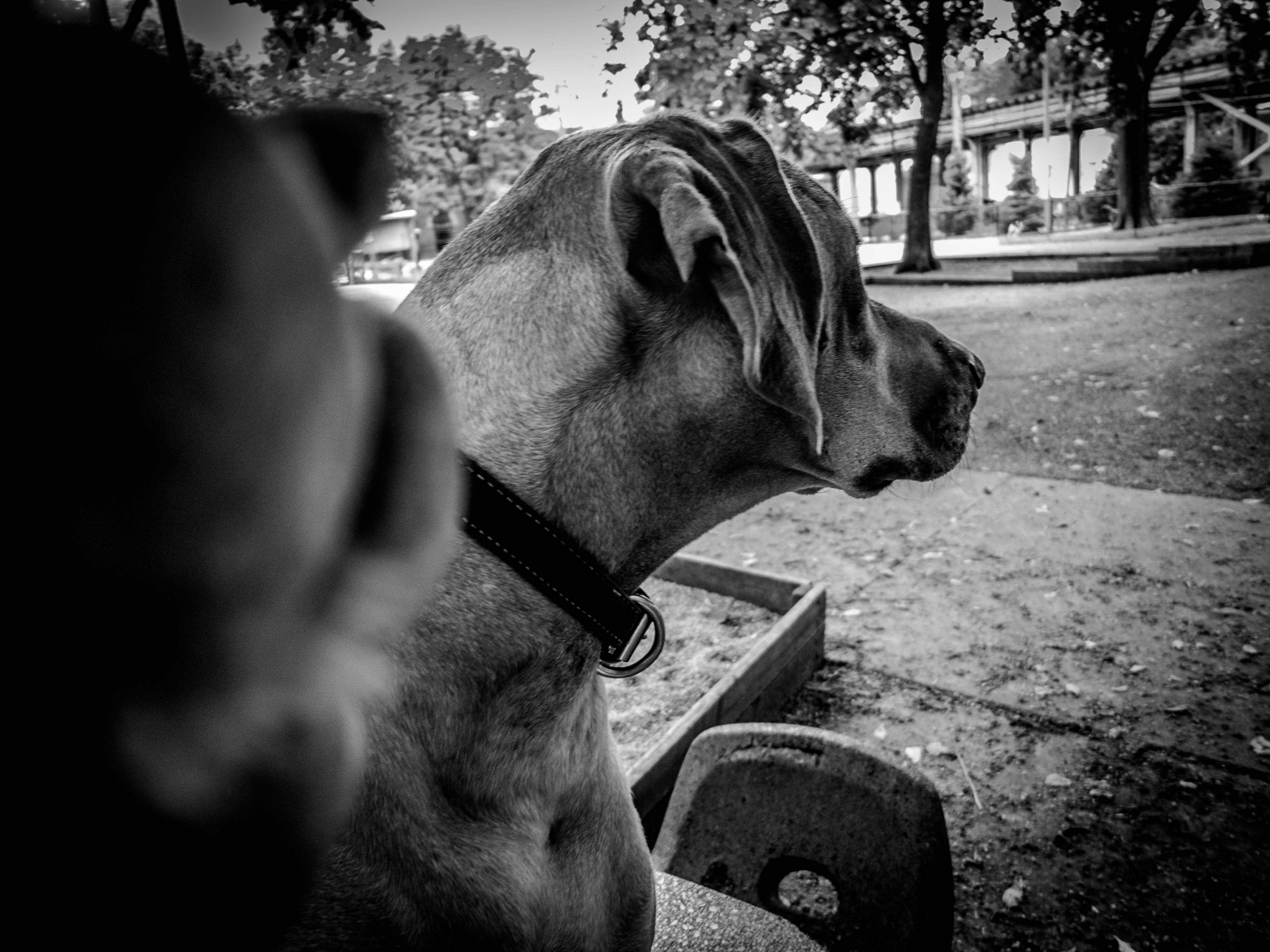 Rhodesian Ridgeback, Rhodesian Ridgeback Photos, dog adventure, marking our territory, petcentric, dog blog, pet blog, funny, dog selfie