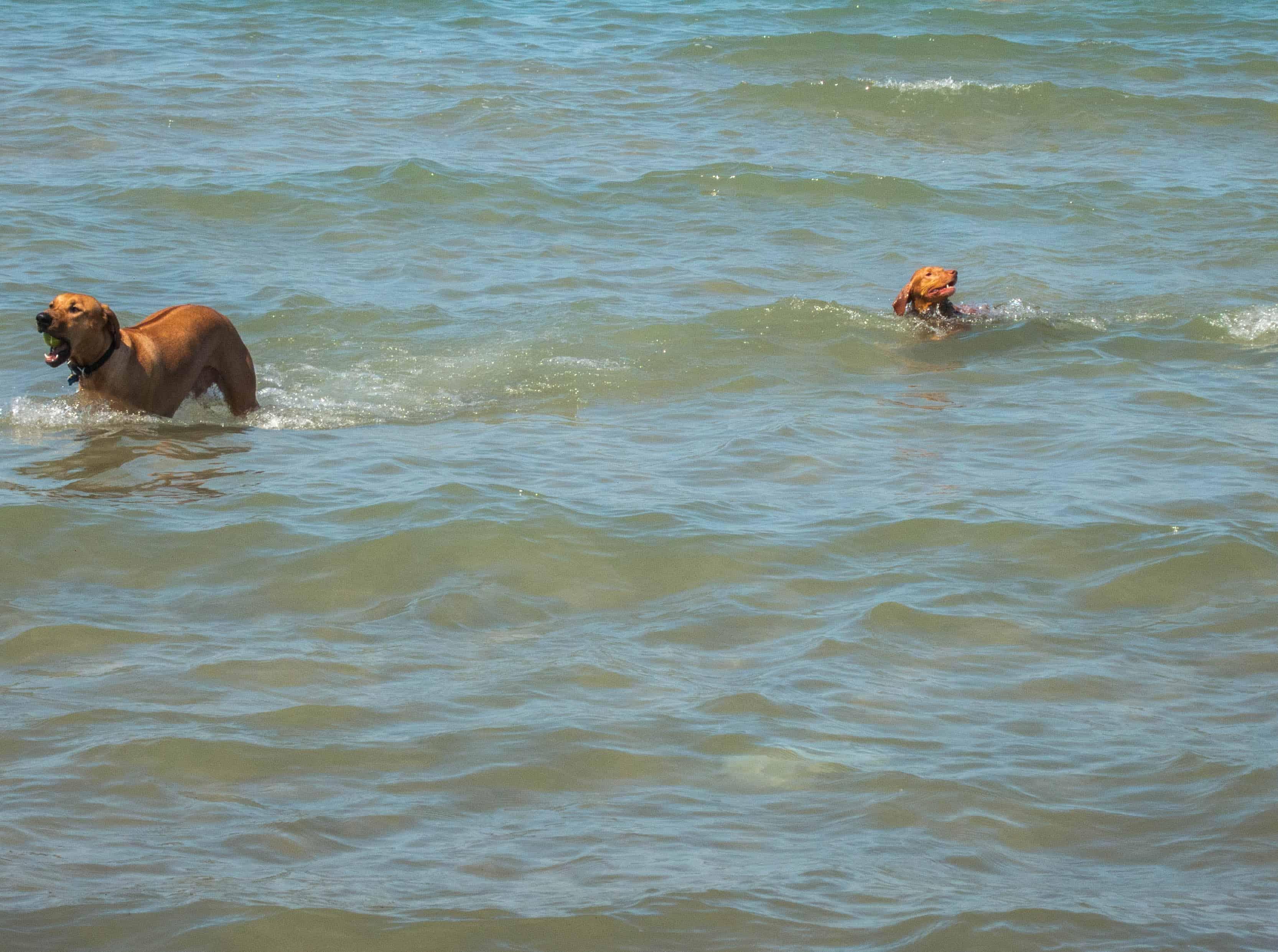 Rhodesian Ridgeback. dog adventure, Rhodesian Ridgeback photos, dog blog, dog beach, petcentric, marking our territory