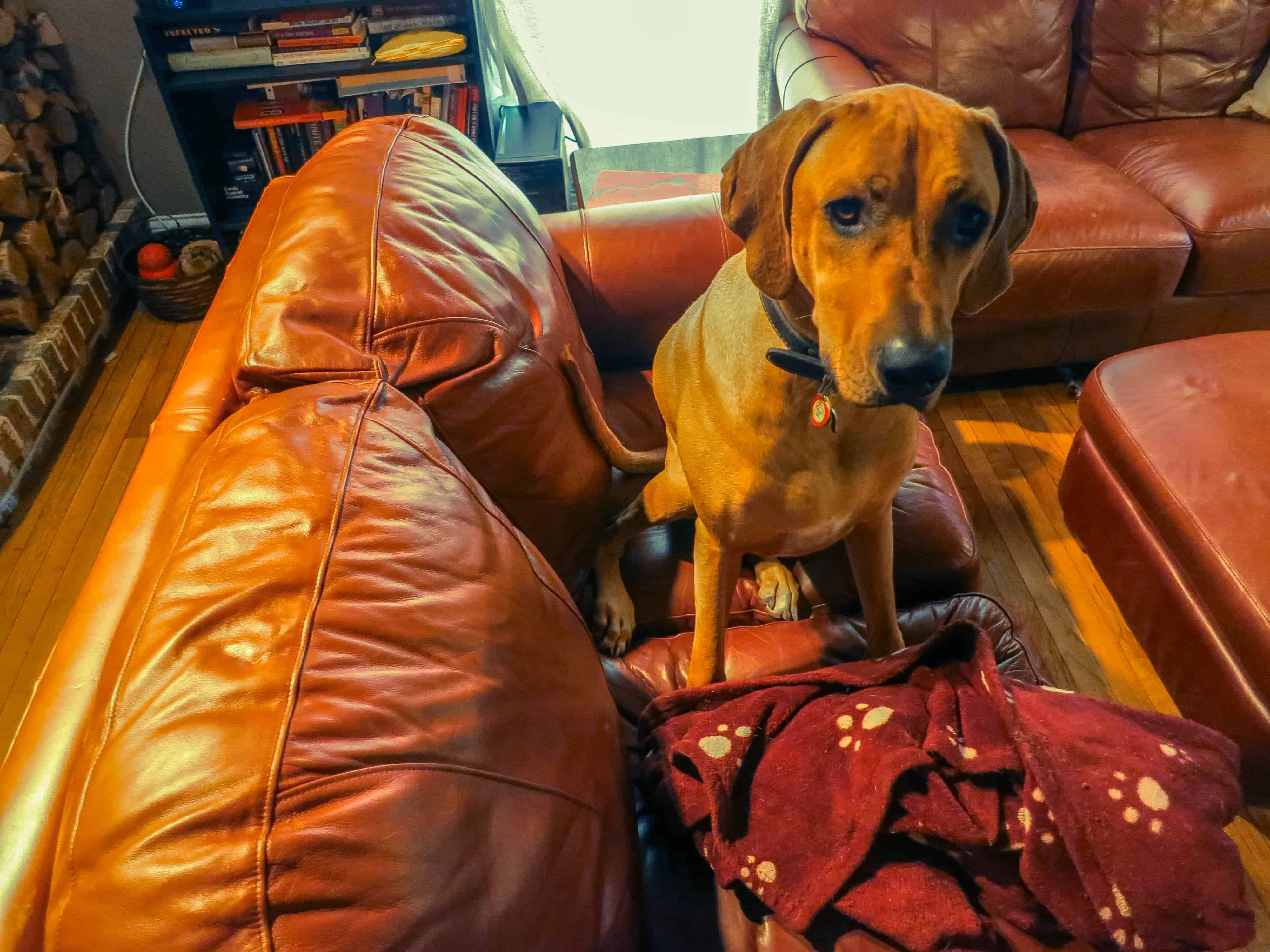 Rhodesian Ridgeback, Rhodesian Ridgeback photos, marking our territory, dog blog, dog adventure, pet adventure, petcentric, dog loves couch, funny