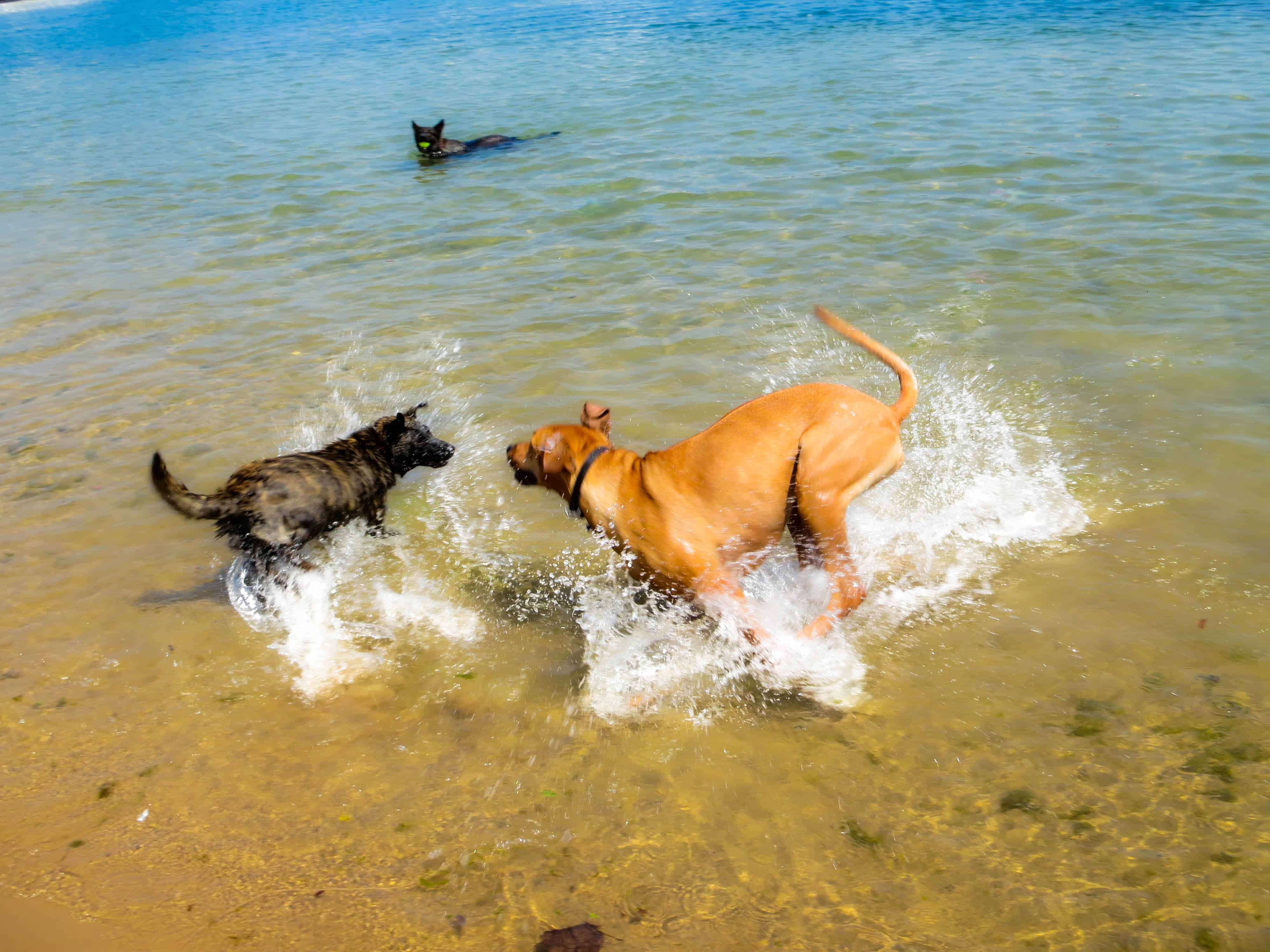 Rhodesian Ridgeback, dog adventure, petcentric, marking our territory, dog blog, dog photos