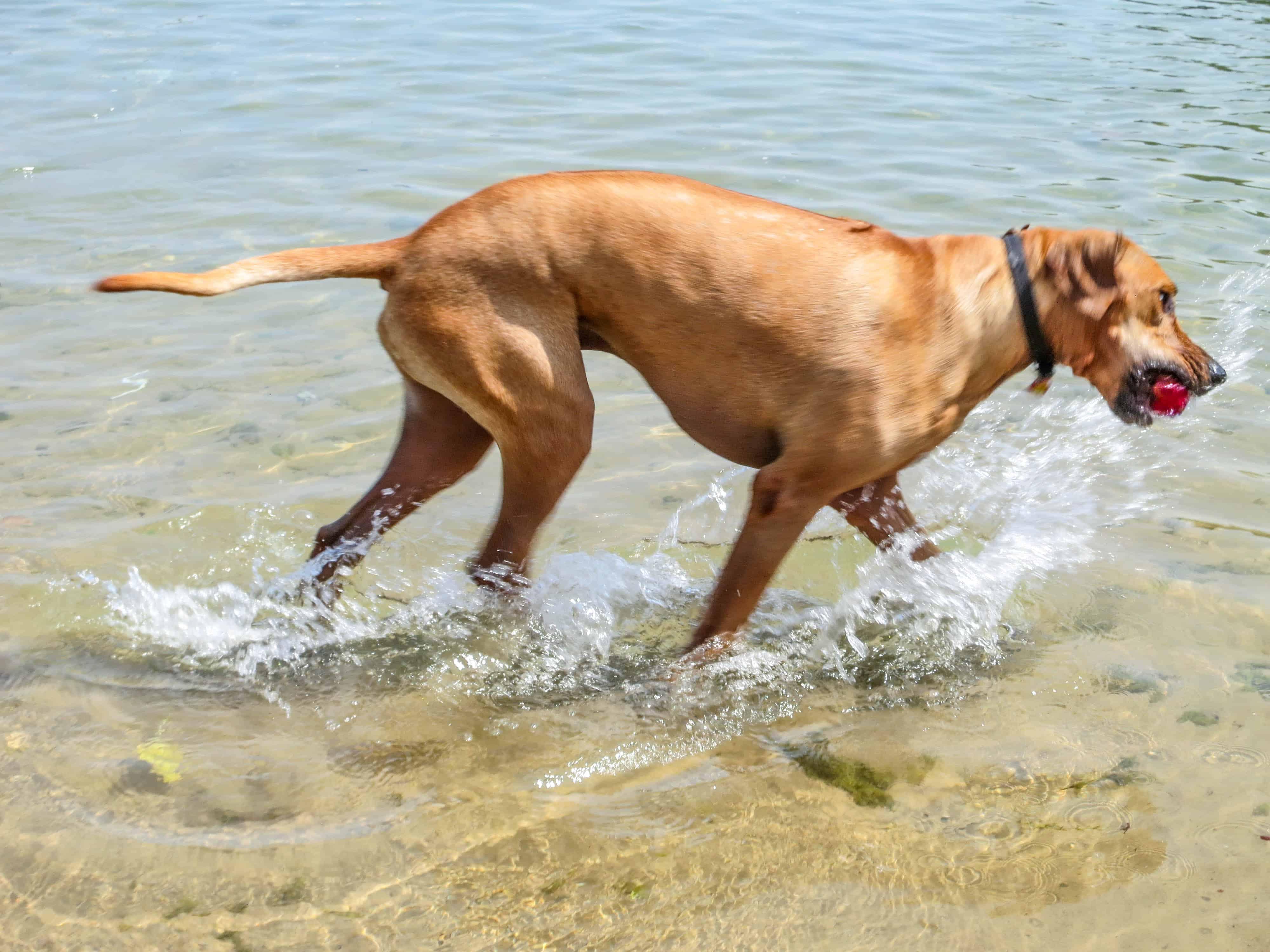 Rhodesian Ridgeback, Rhodesian Ridgeback photos, dog adventure, marking our territory, dog blog, petcentric
