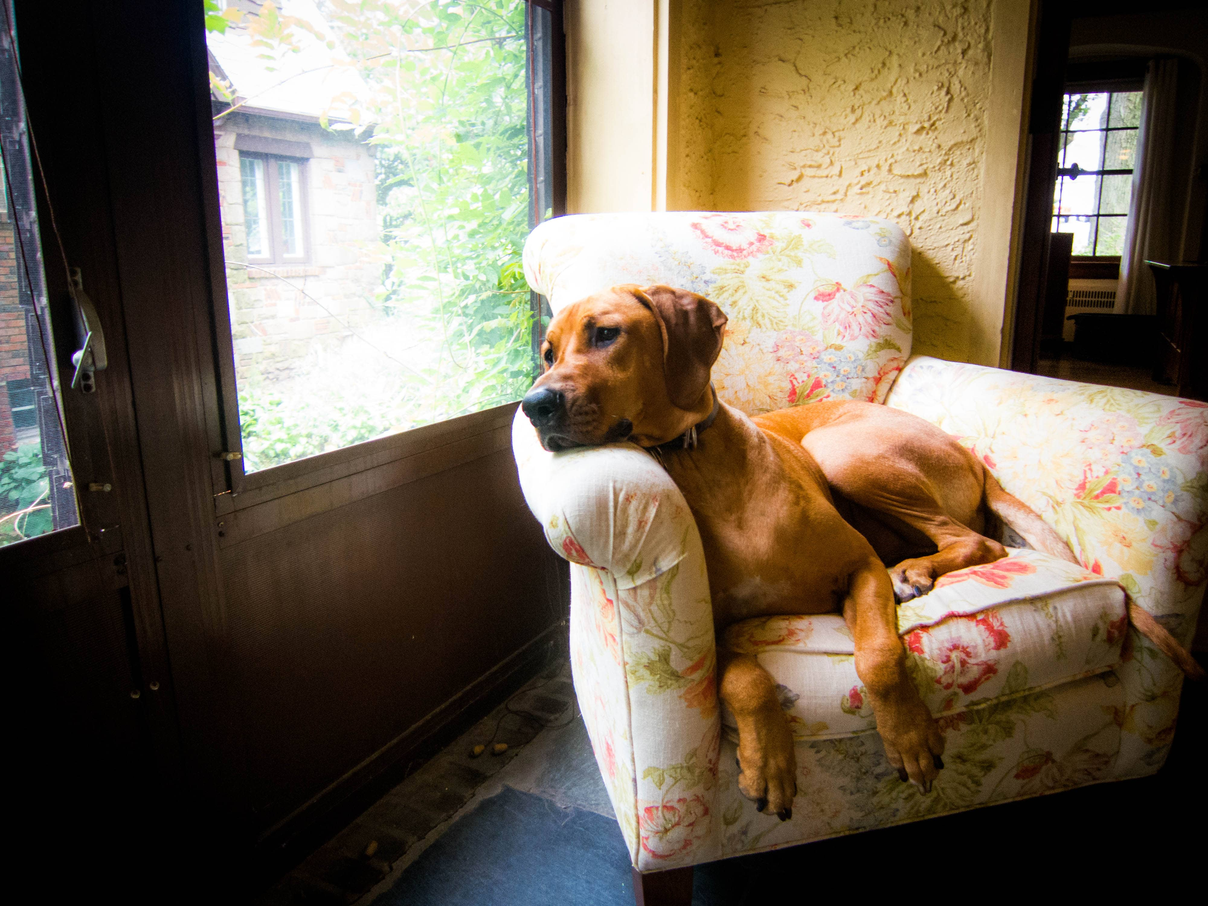 Rhodesian Ridgeback, dog adventure, dog blog, pet photos. dog photos, puppy photos