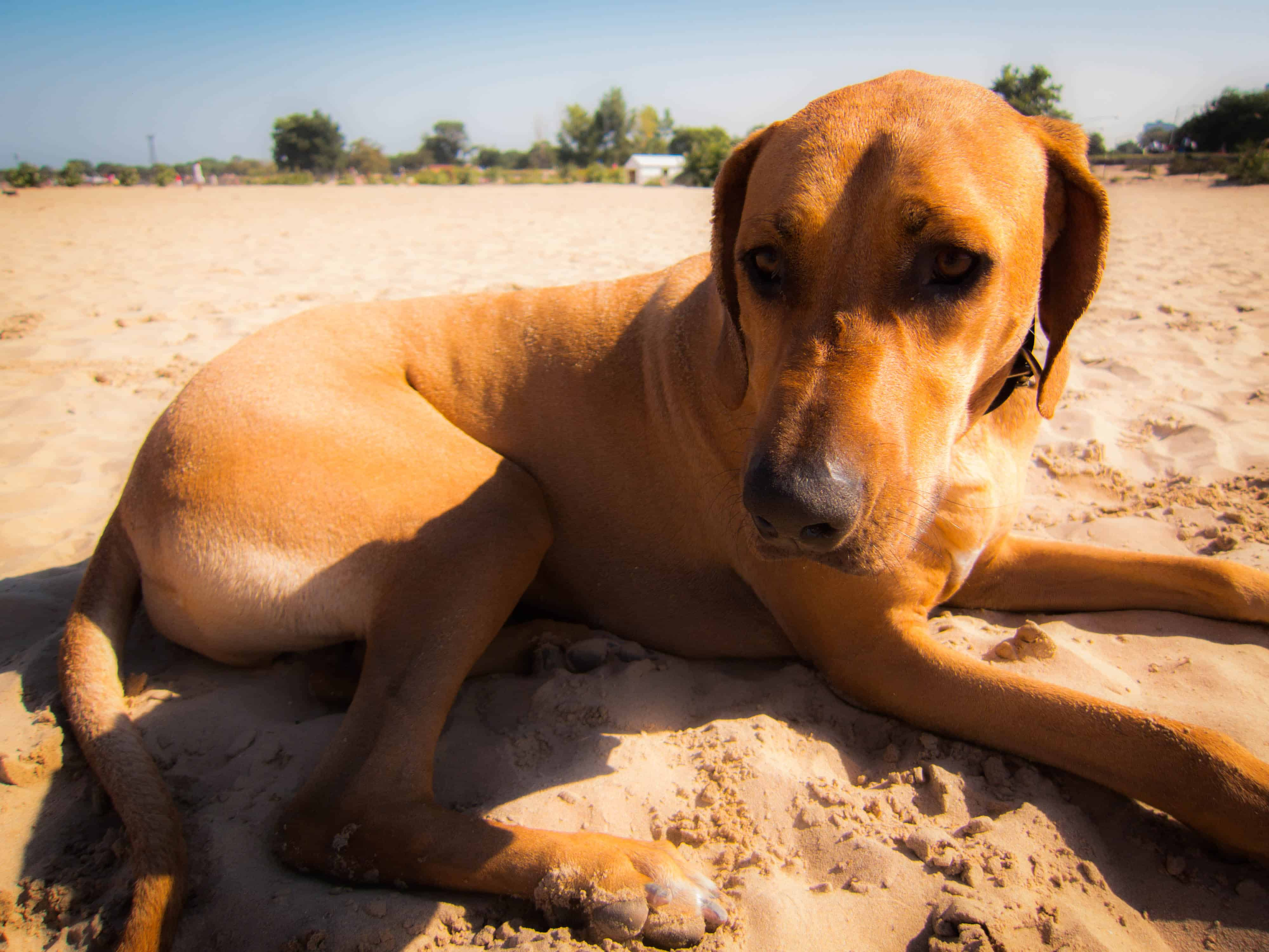 Rhodesian Ridgeback, dog adventure, Rhodesian Ridgeback photos, traveling with your dog, dog beach, dog park