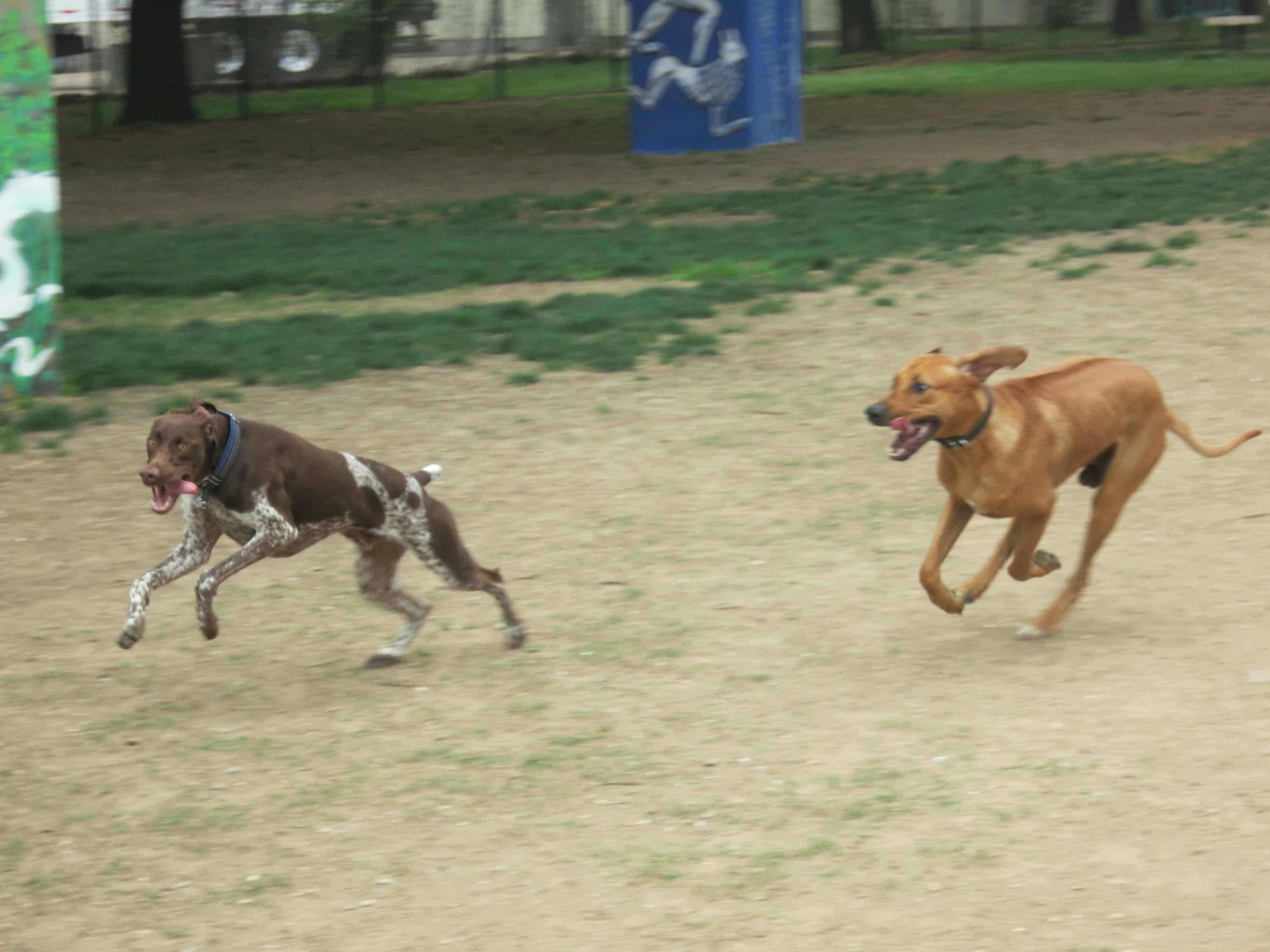 RHodesian Ridgeback, Rhodesian Rigeback photos, marking our territory, pet adventure