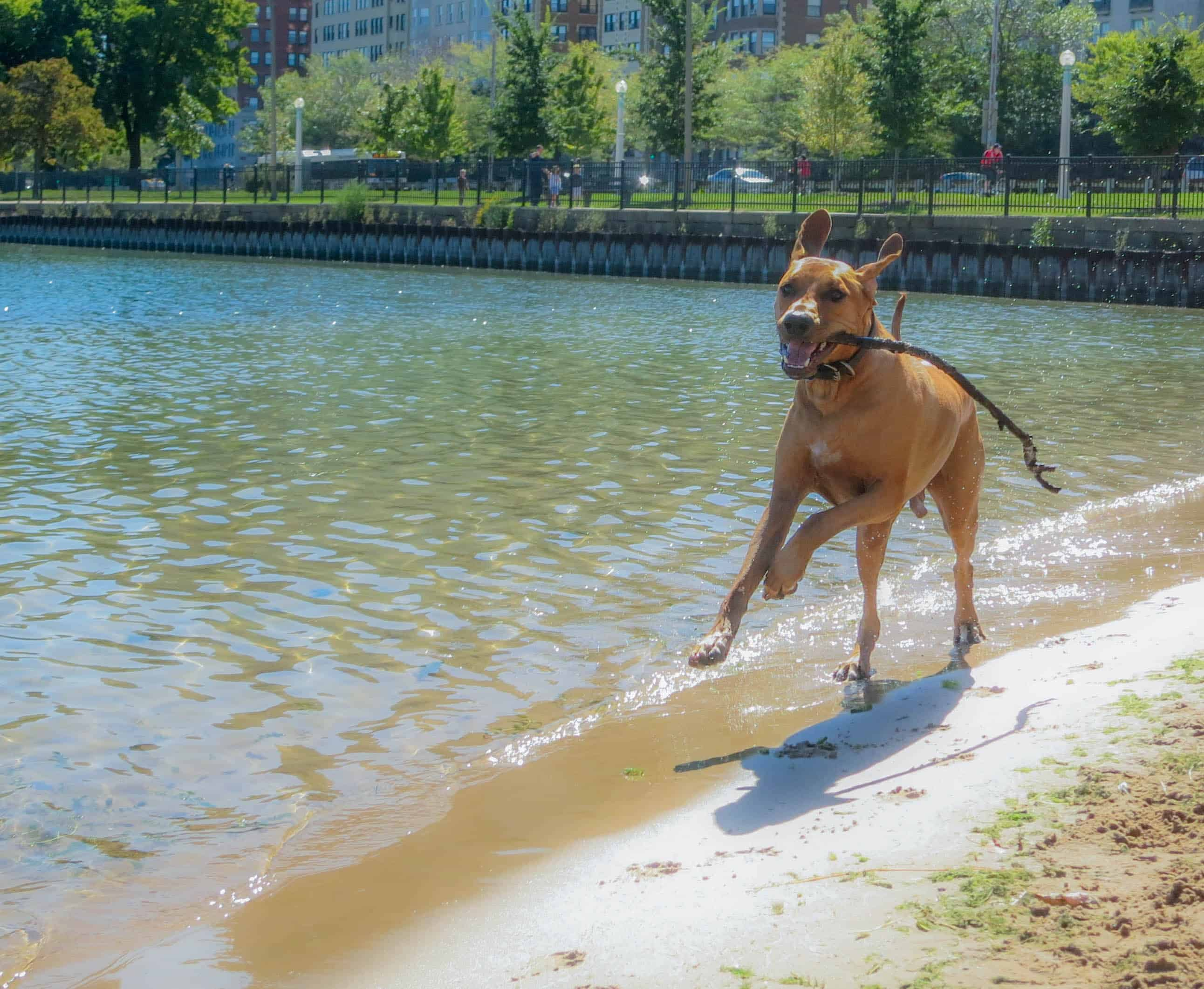 Rhodesian Ridgeback, adventure, marking our territory, dogs, petcentric