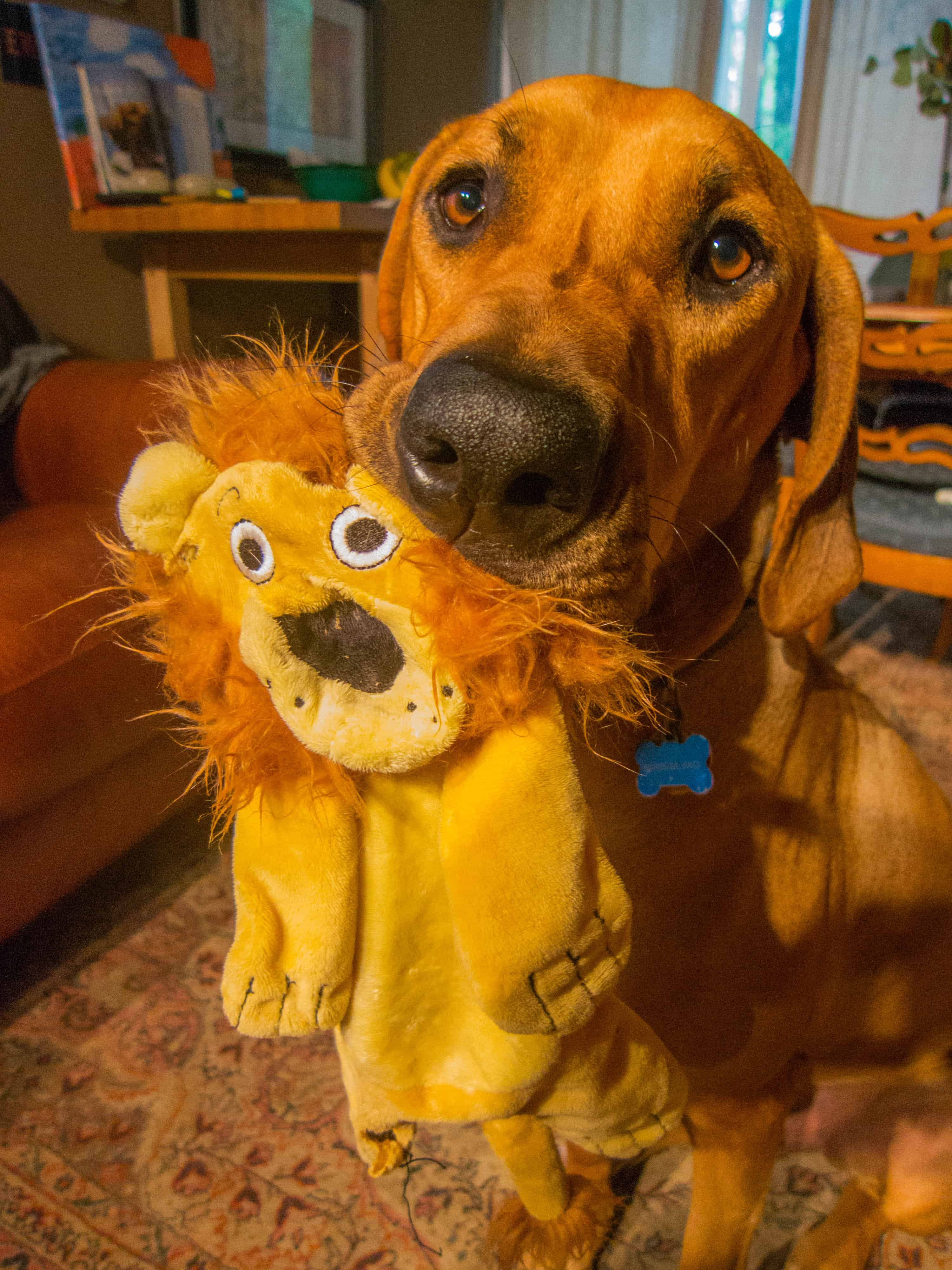 Rhodesian Ridgeback, adventure, dogs, funny, marking our territory, dog toys