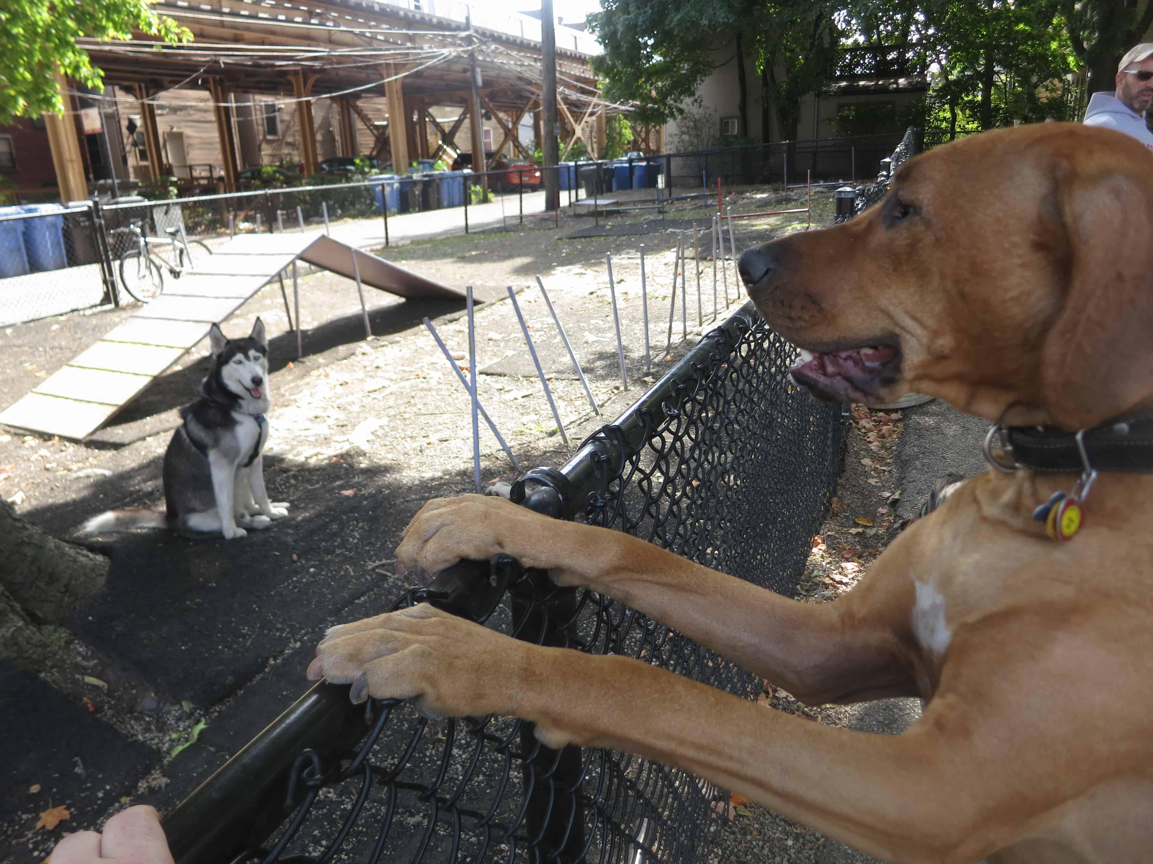 pet friendly blog, rhodesian ridgeback