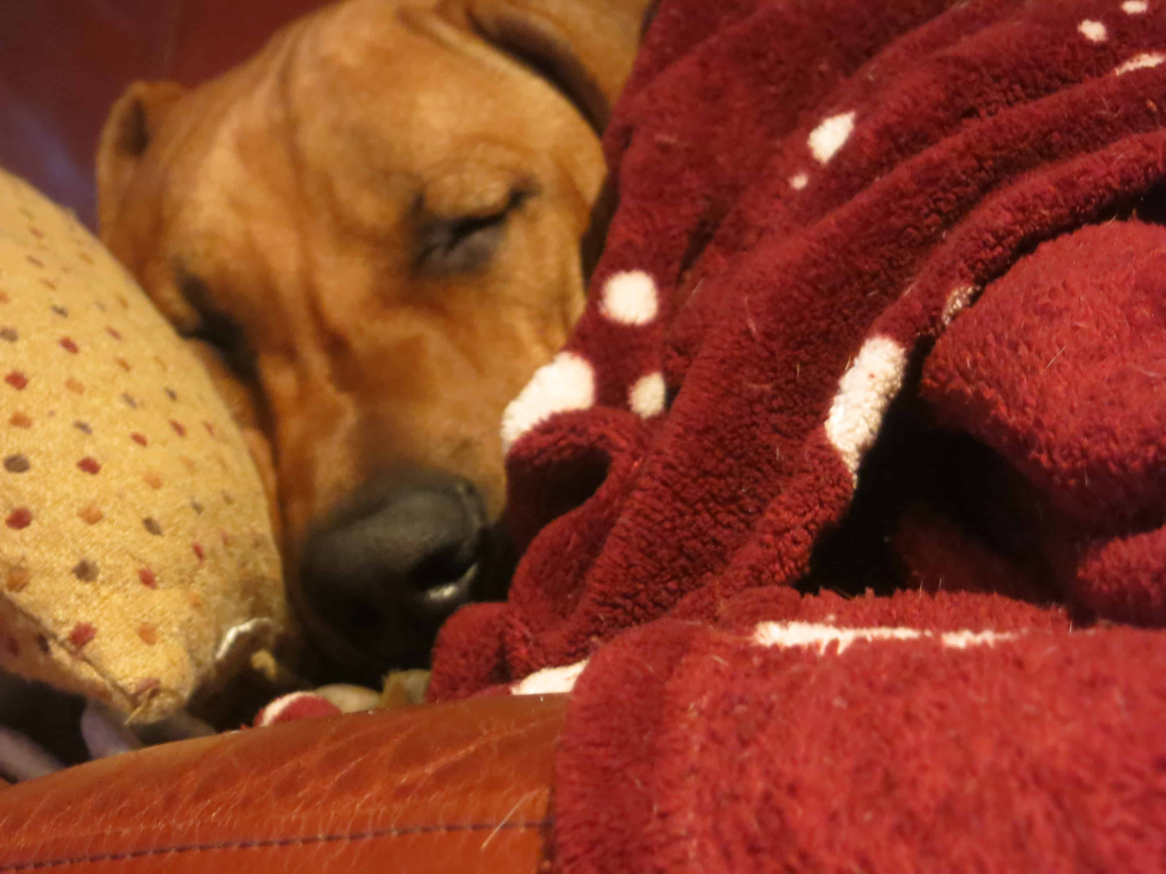 rhodesian ridgeback, dog blog