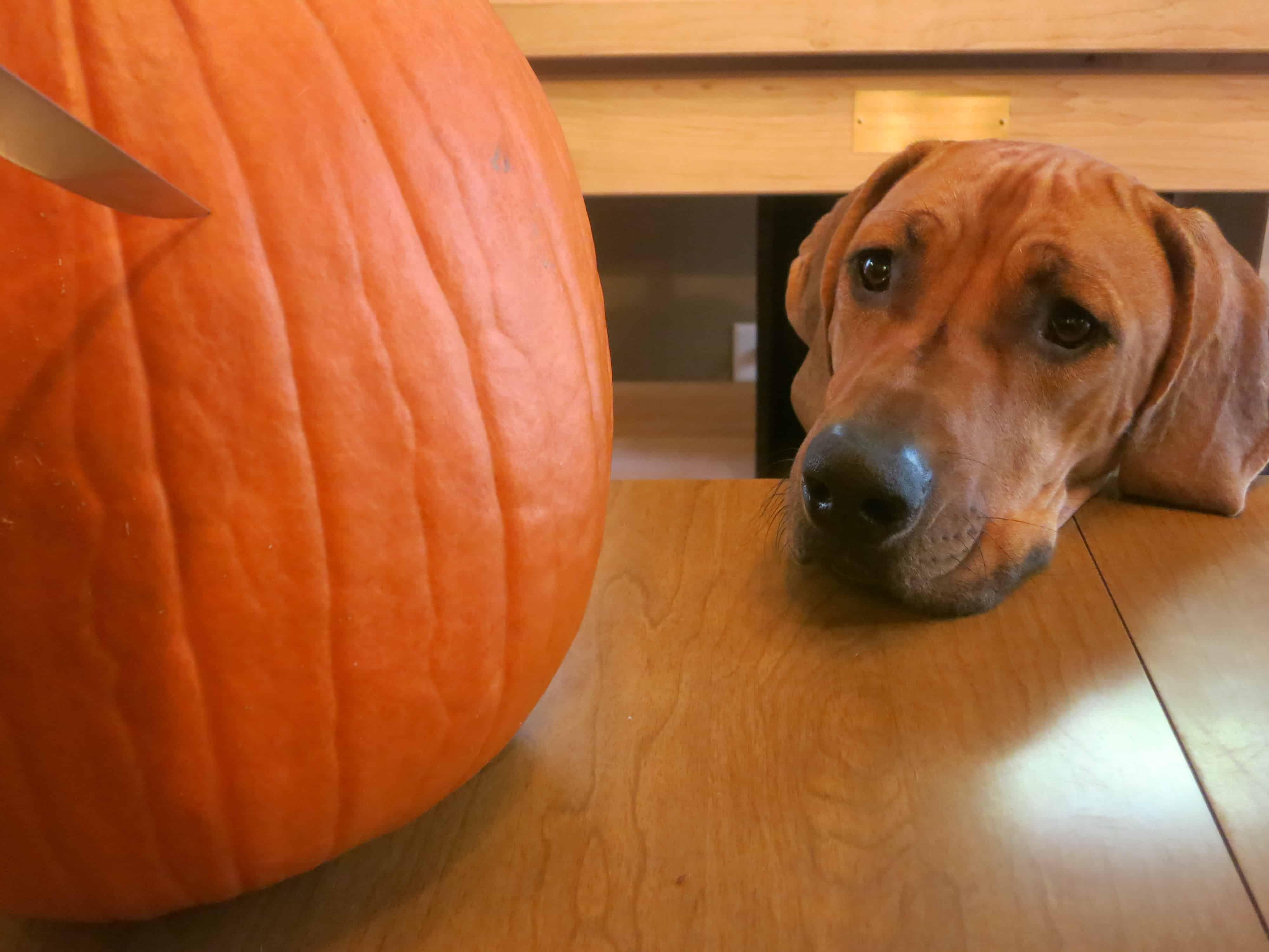 rhodesian ridgeback, dog blog, pet friendly adventure