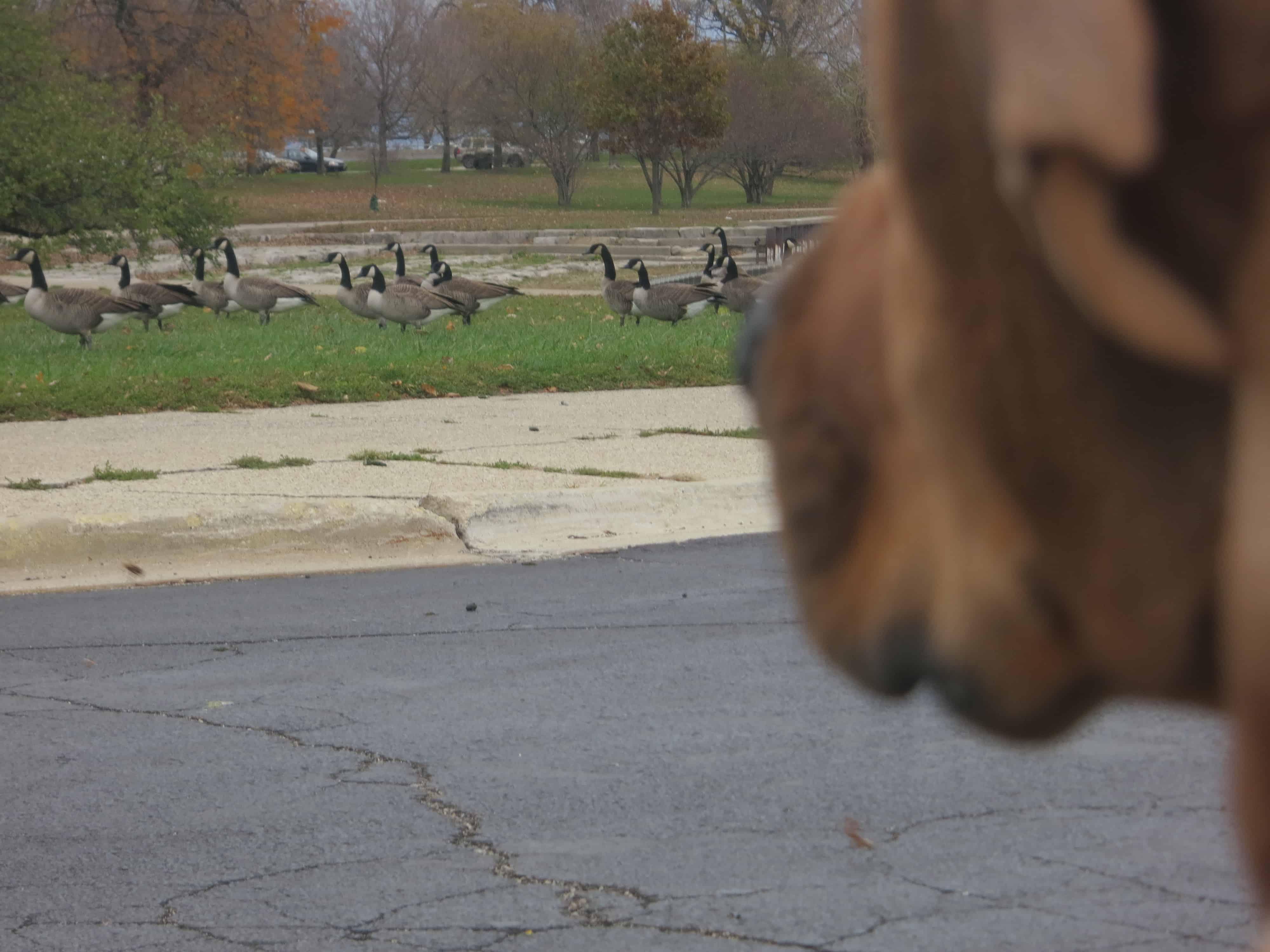 rhodesian ridgeback, pet blog