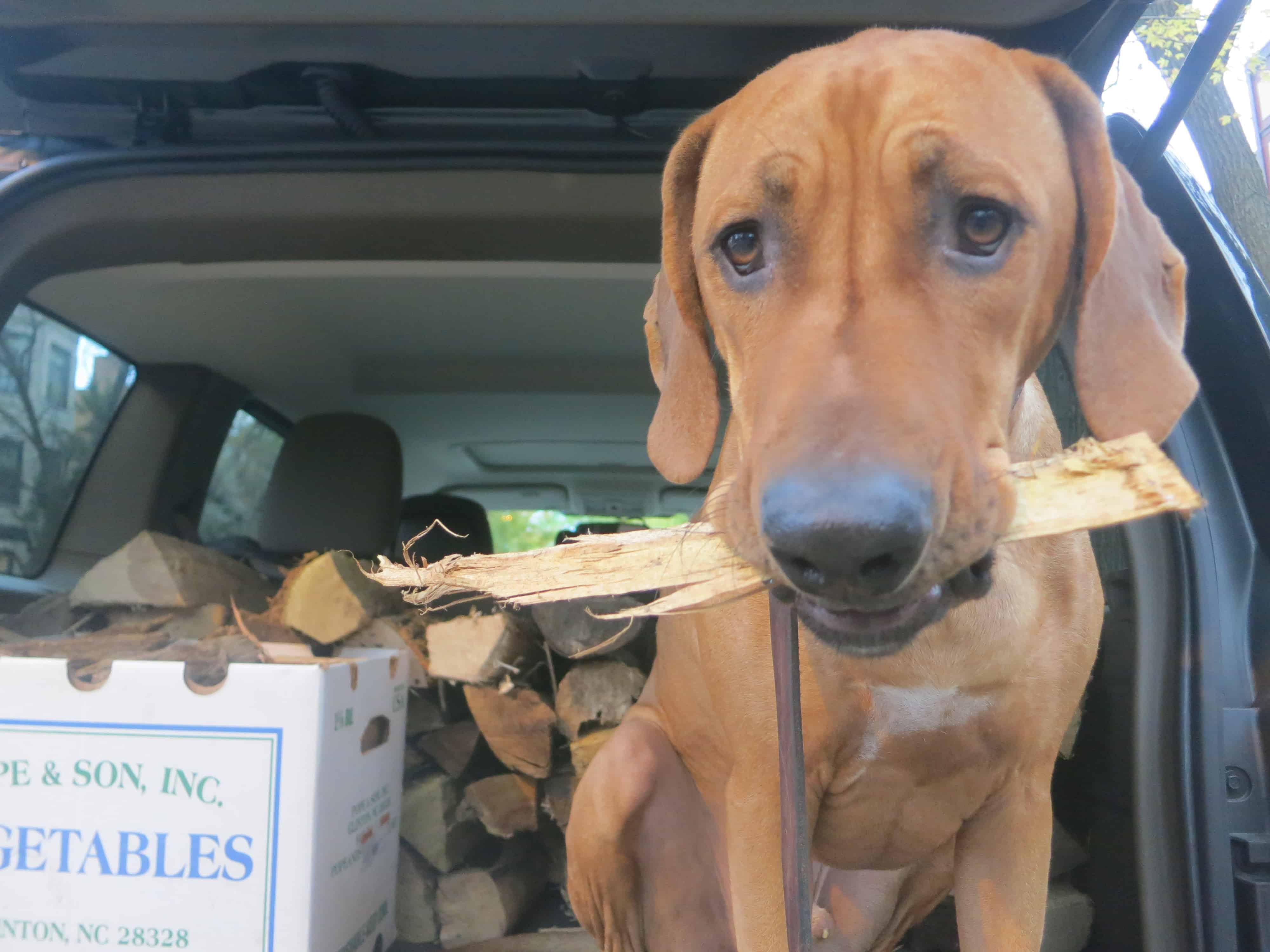 Rhodesian Rideback, pet blog, pet adventure