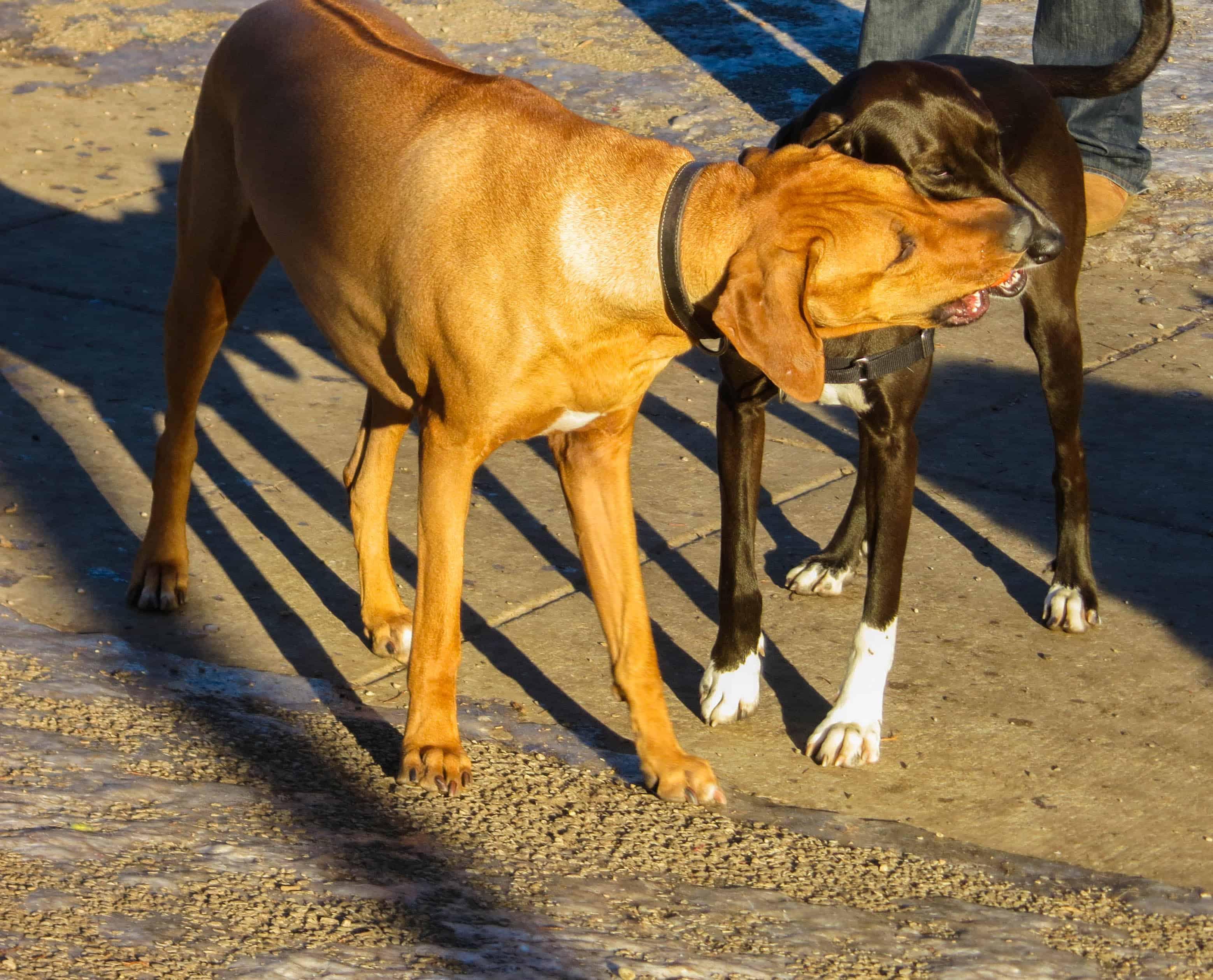 Rhodesian Ridgeback, pet-friendly travel