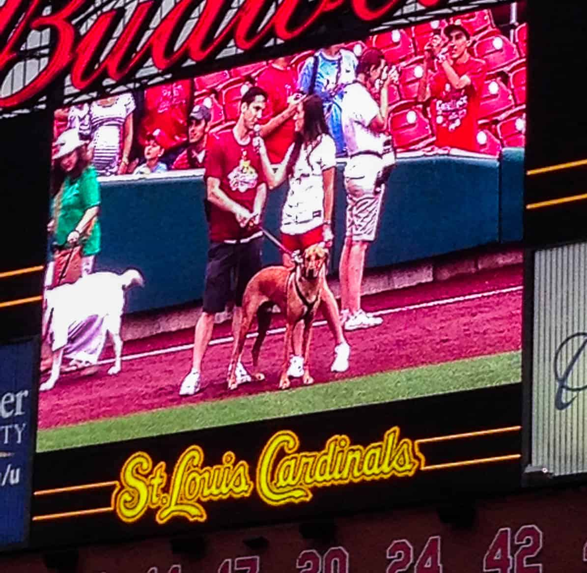 Rhodesian Ridgeback, pet adventure, dog blog, pooches in the ballpark, st louis cardinals, petcentric, marking our territory