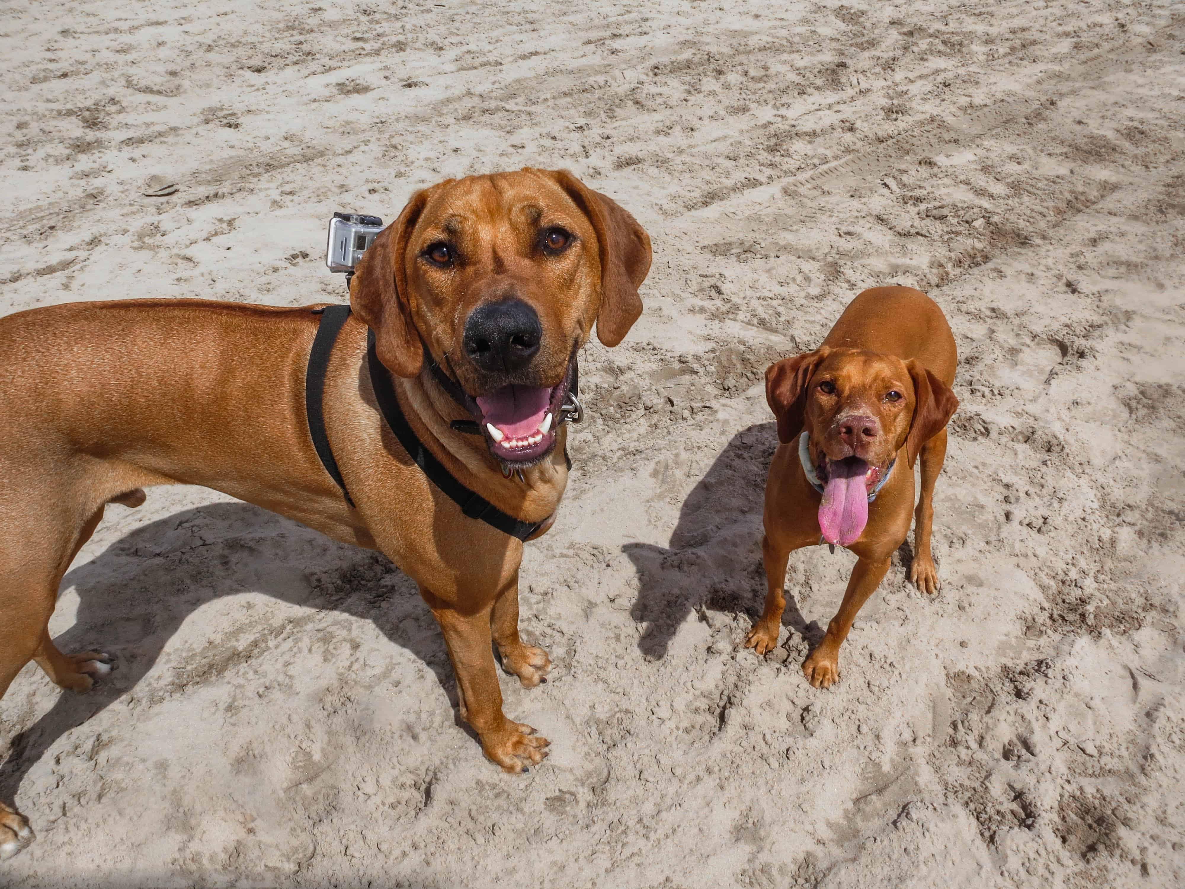 Rhodesian Ridgeback, rhodesian ridgeback photos, dog adventure, marking our territory, dog blog, dog photos
